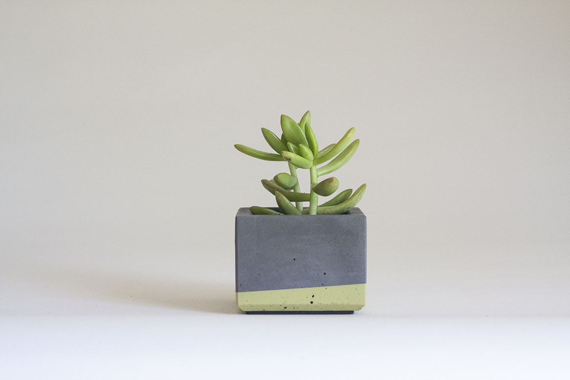 Coppertone sedum in our Mini Concrete Planter, Charcoal Grey and Lime Green