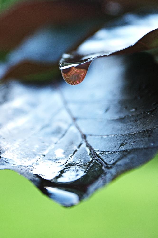 colored copper beech raindrop_2.jpg