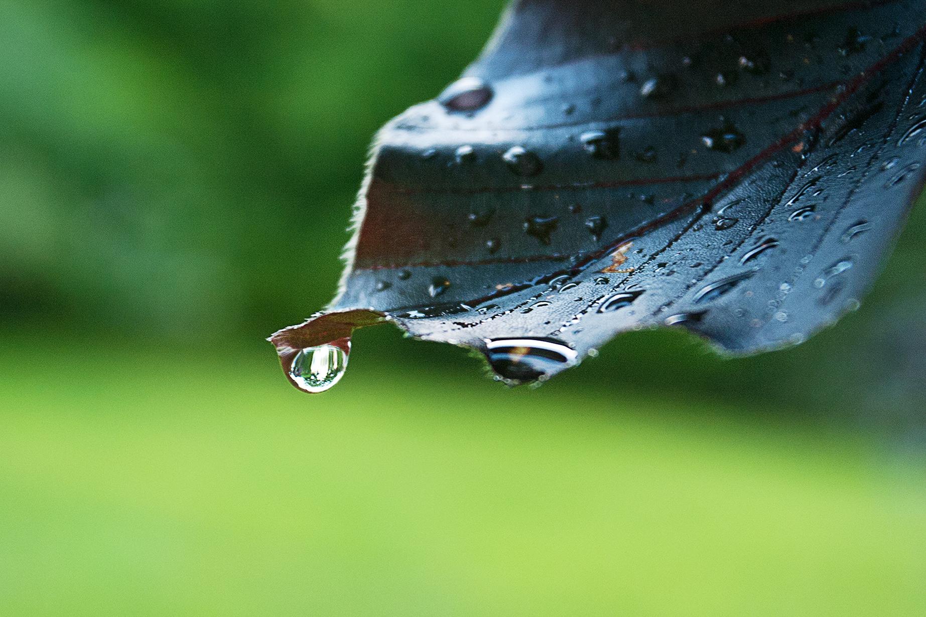 copper beech raindrop_4x6.jpg