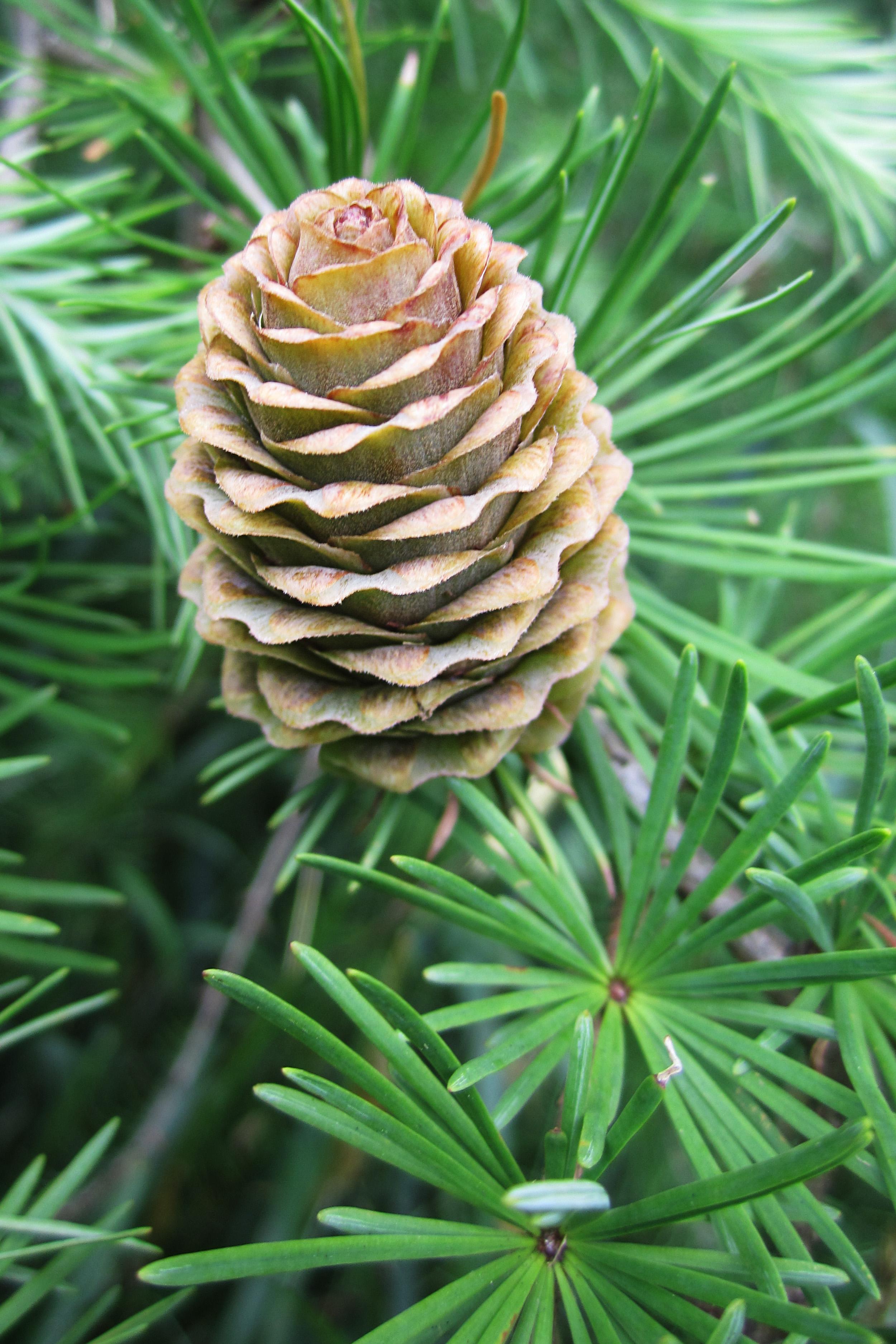 pinecone_1.jpg