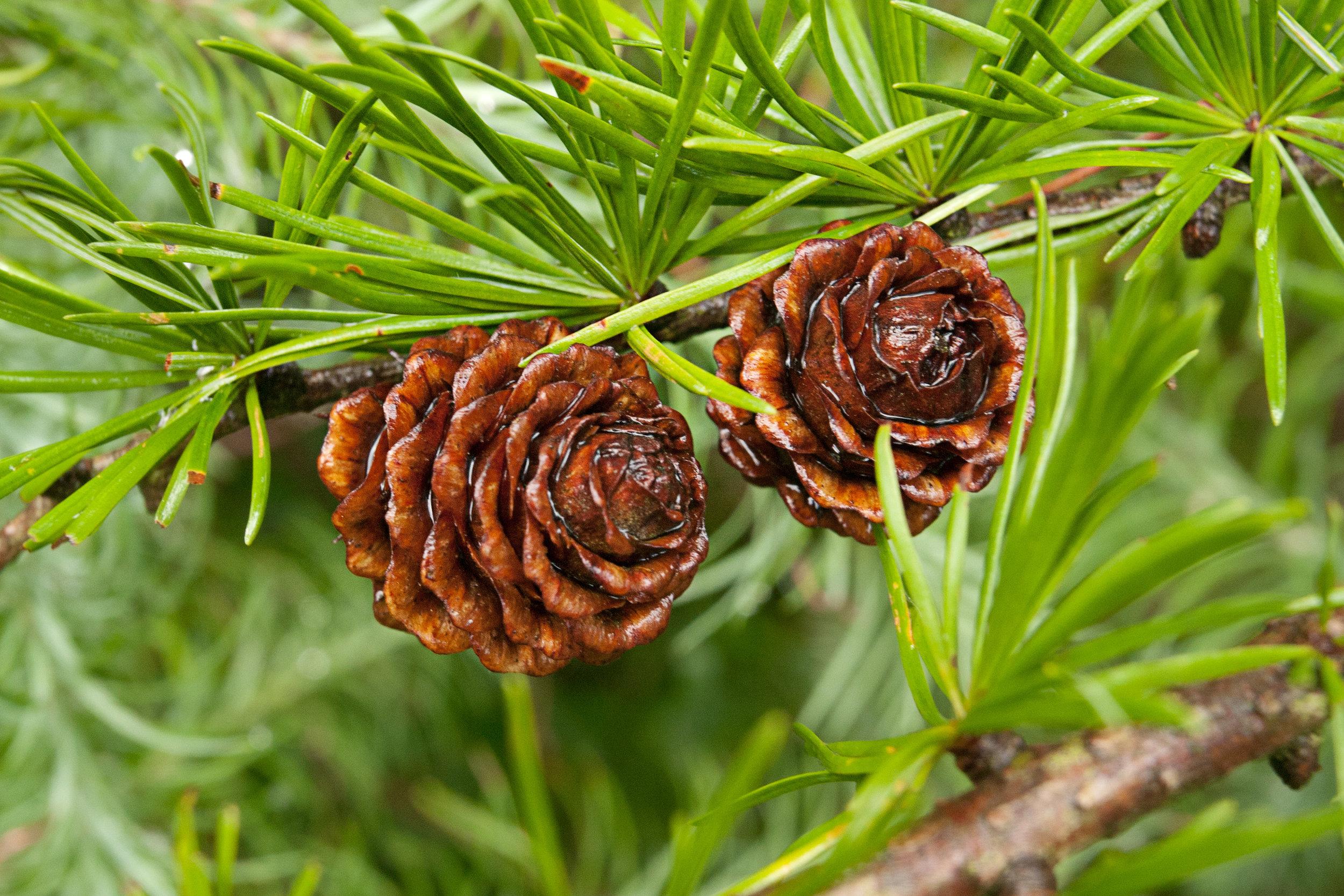 pinecones_2.jpg