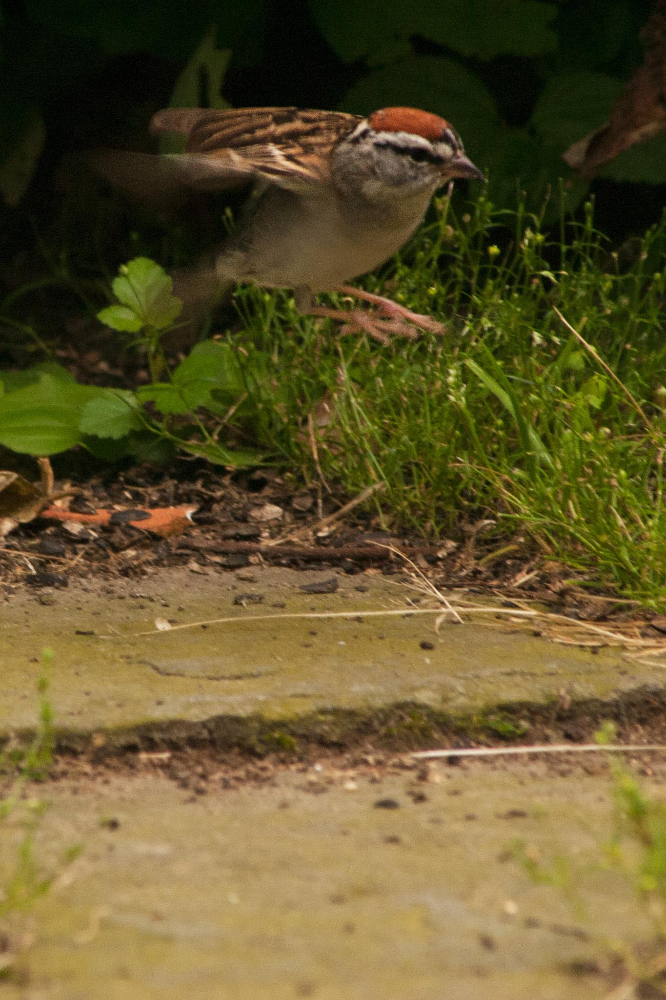 sparrow_3.jpg