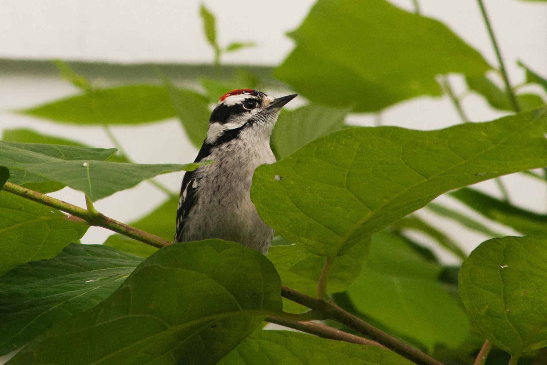 woodpecker_1.jpg