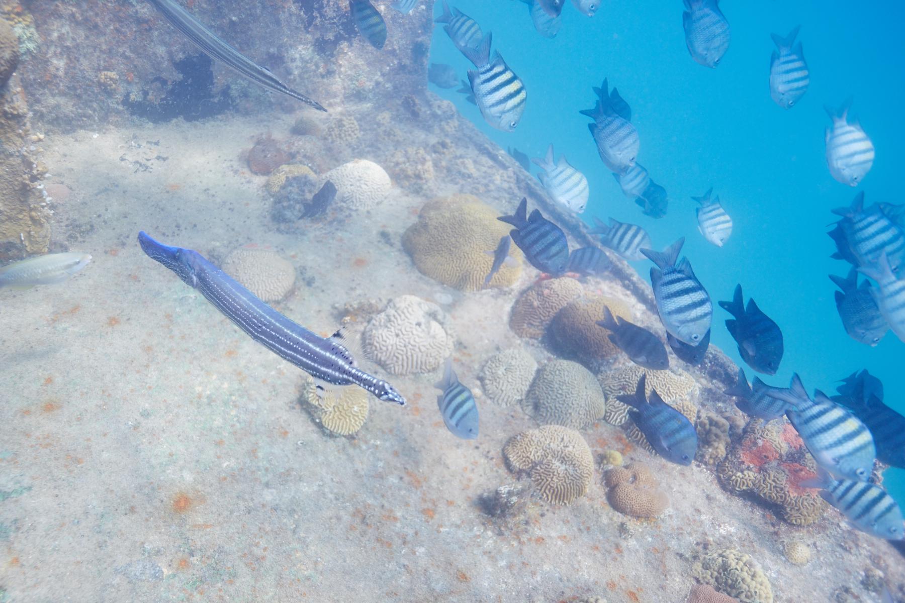 Trumpetfish & Sargent Major Damselfishes