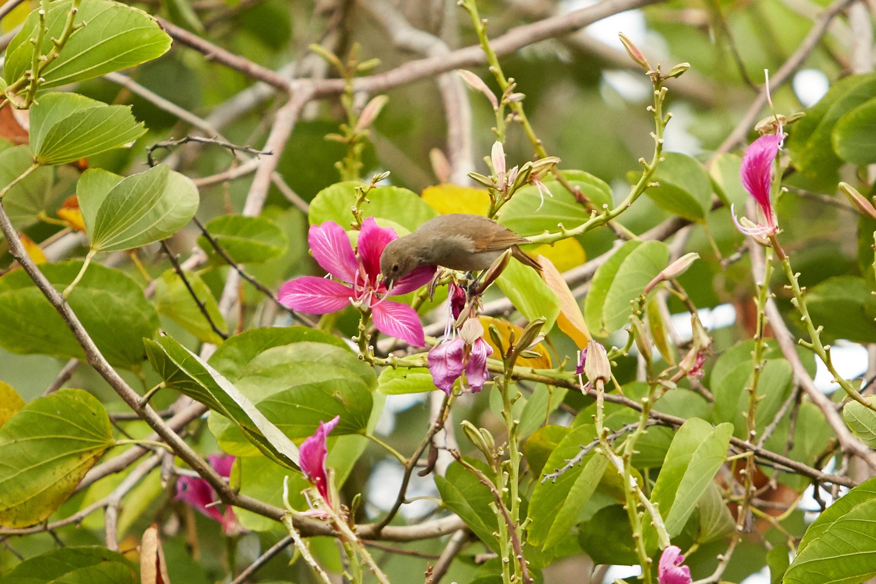 Barbados Bullfinch eating from a flowering tree