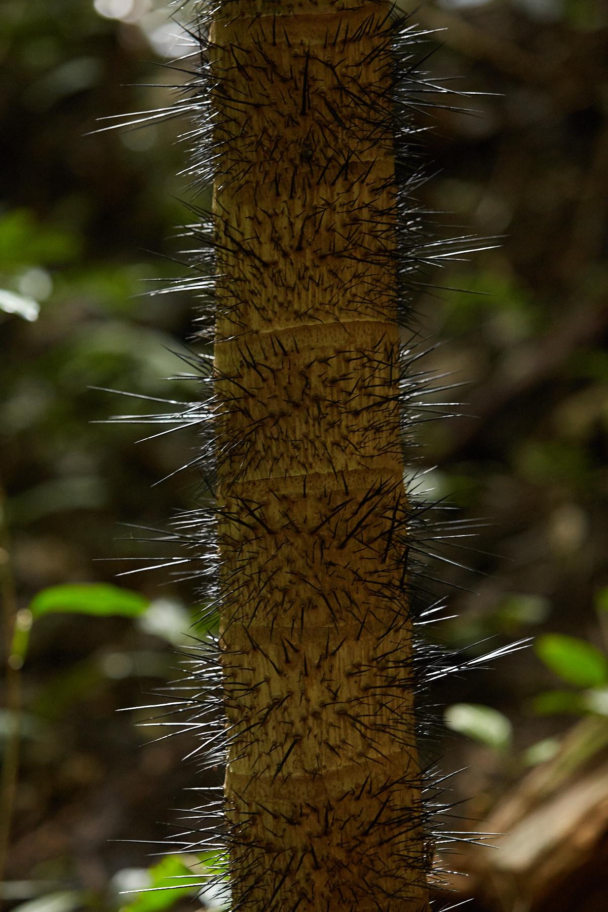 Macaw Palm