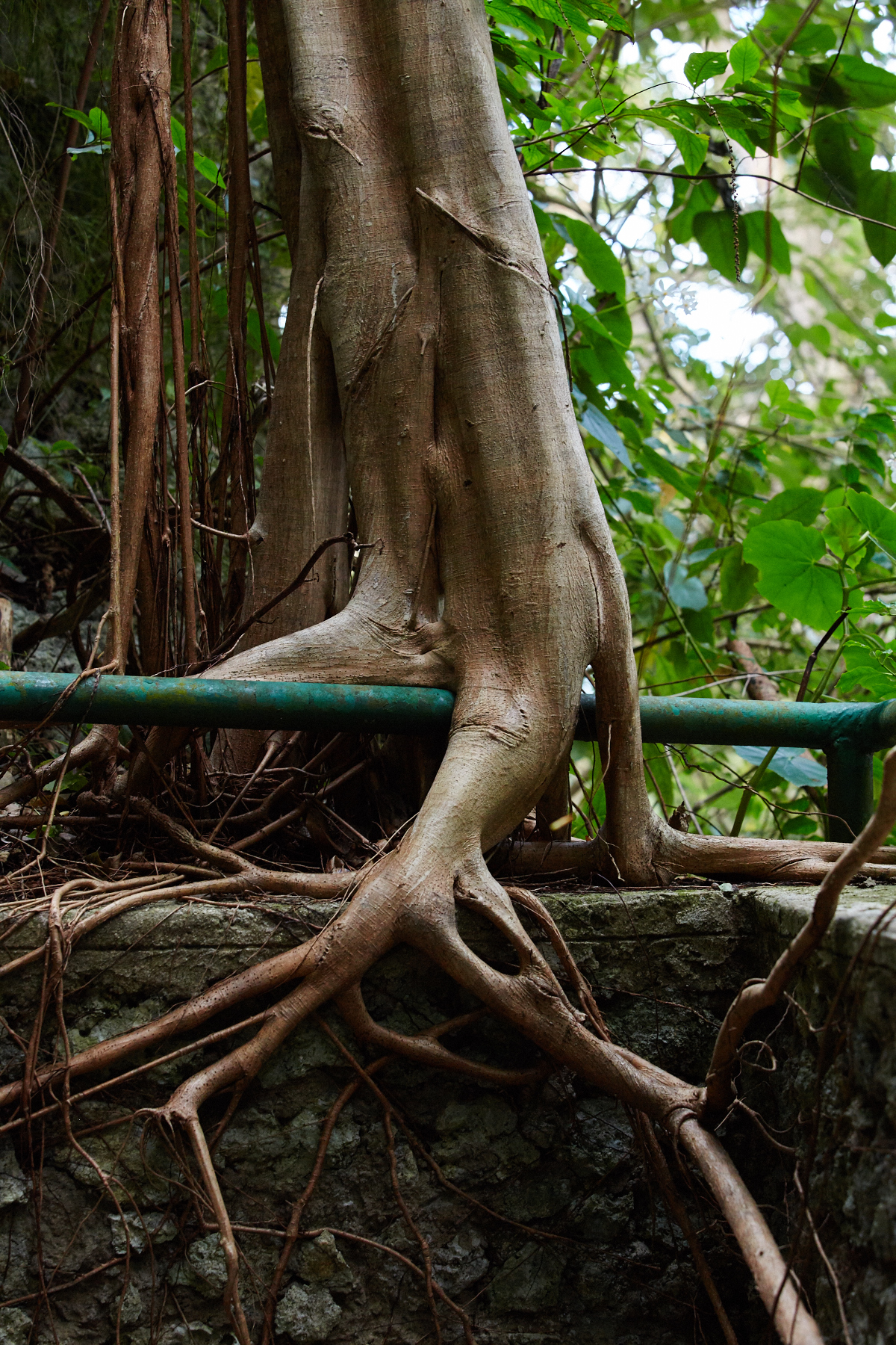 Tree growing over the railing