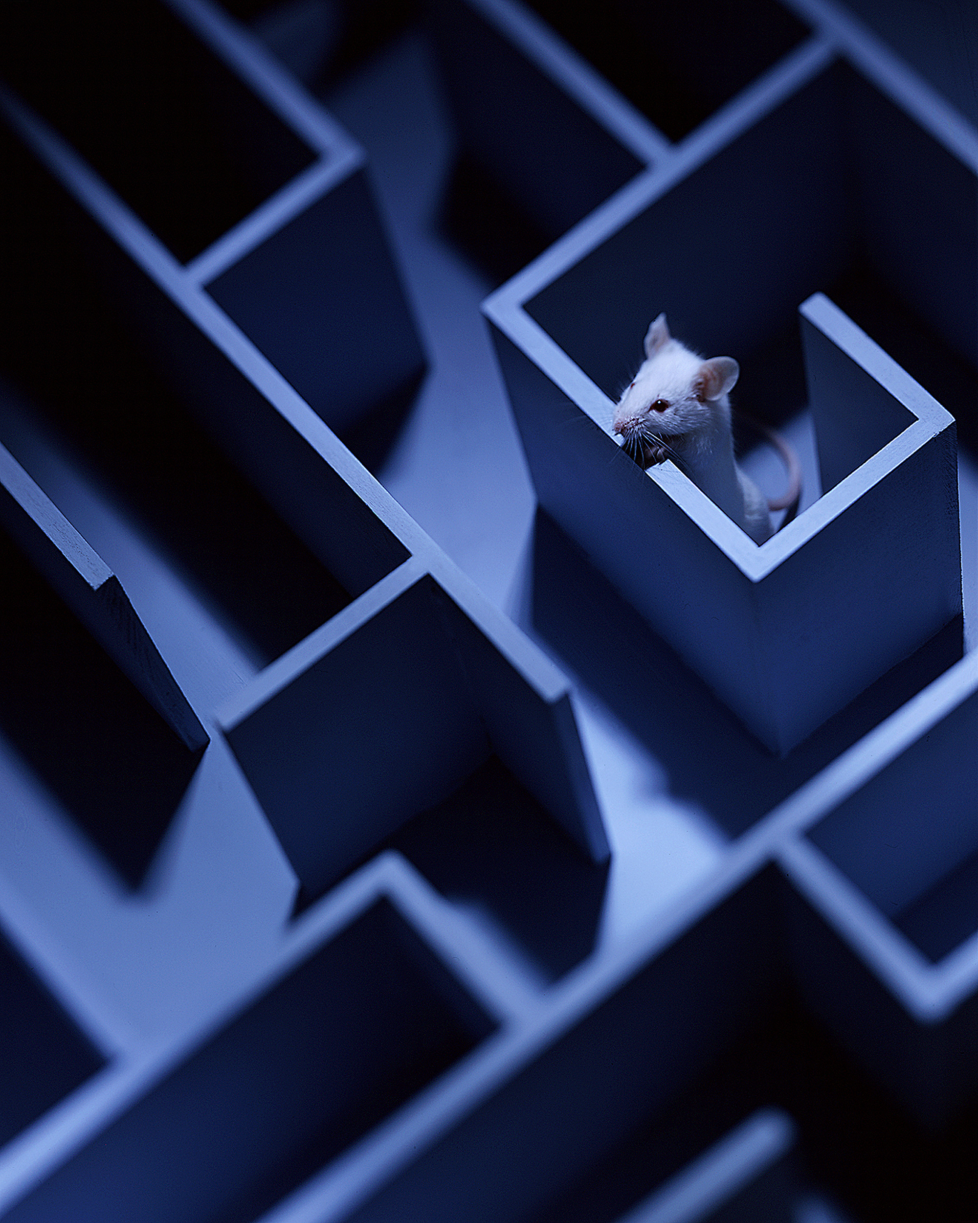 Mouse-in-Maze-2-copy.jpg