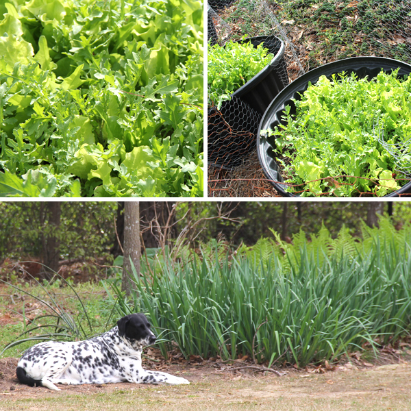 lettuce-garden