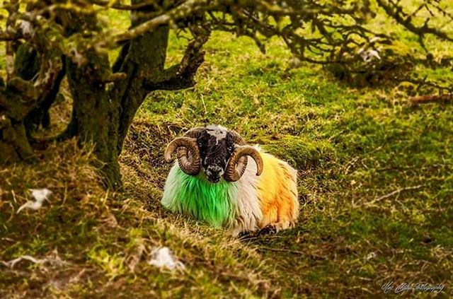 Featured Photo: An Irish Ram in County Down taken by @mac_creative_photography.  Make sure to check out their page.  Follow us to see more amazing images of Ireland 😀 -------------------------------------------------------------------------- Use our #pictureireland hashtag to share your best photos and to be in with a chance to be featured on our Instagram and website community page: www.picture-ireland.com/community  #pictureireland #fineart #landscape #photography #ireland #inspireland_ #loveireland #tourismireland #igersireland #insta_ireland #instaireland #irish #photography #discoverireland #photos #photooftheday #picoftheday #loves_ireland # #walkingtrails #Atticall #mournemountains #countydown #northernireland #Ram