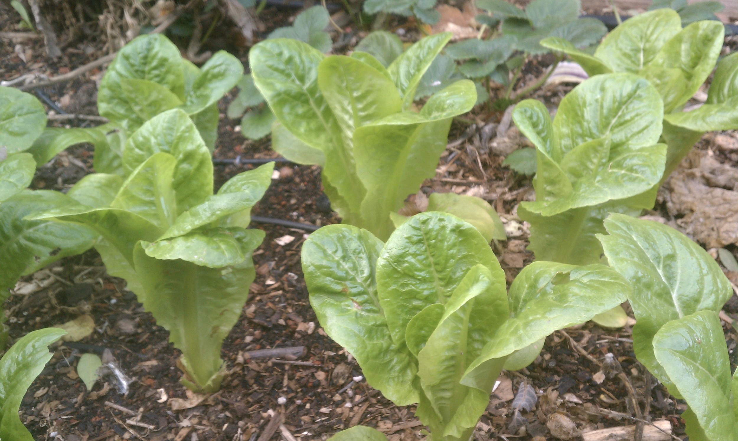 Little Gem Lettuces