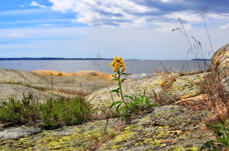 Blomst-LangØya.jpg