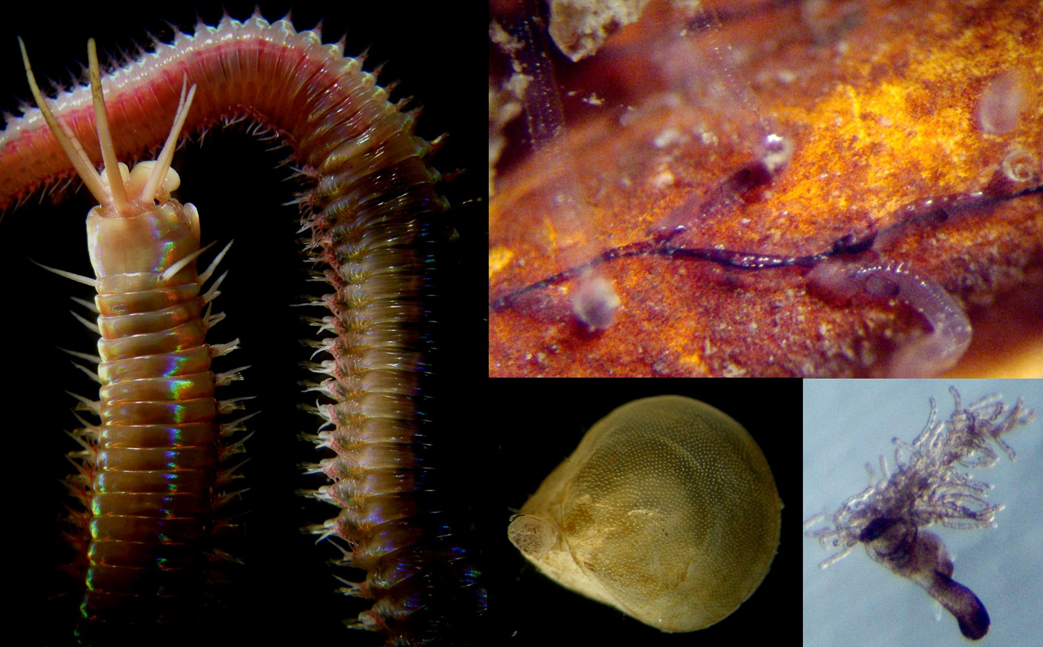 Left:Eunice norvegicawith extruded fangs. Middle: you often see the claws of the small squat lobsterMunidopsis serricornissticking out between branches of corals. Right:Barentiasp. (Entoprocta) was found almost solely on panels close to corals.