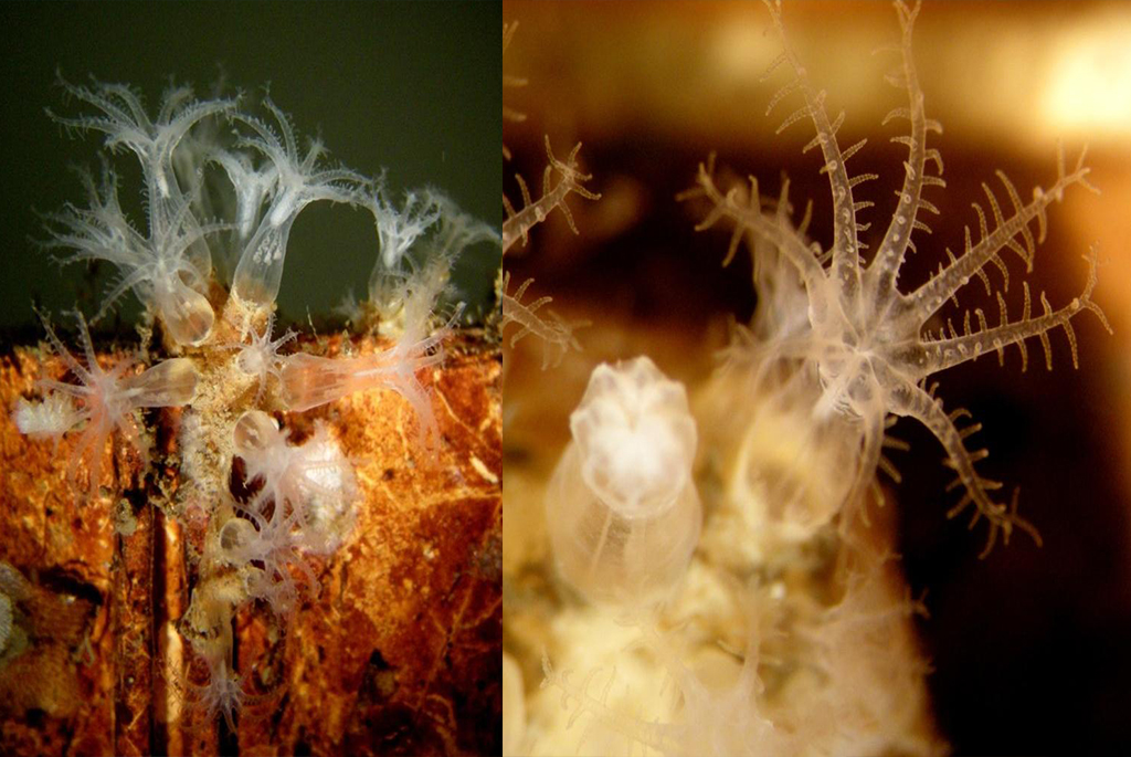 The soft octocoralAlcyonium norvegicumis one of the invertebrates thriving in the stony coral habitat. It was only found on the panels that had been very close to corals. 202 colonies ofA. norvegicumwere found on the two racks closest to theLopheliacolonies, while only two small ones were found on the four racks standing more than three meters away from the stony corals.