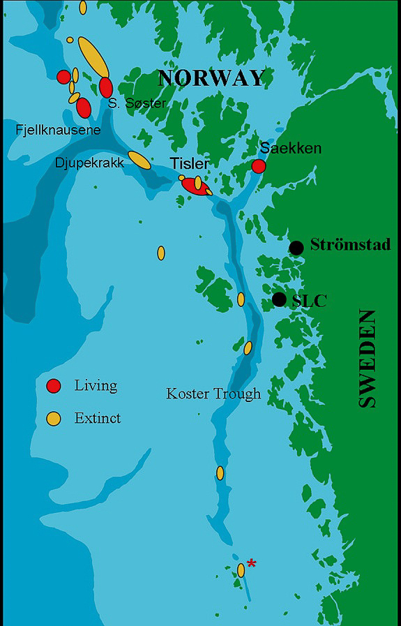 The marine biological field station is marked out in the map as SLC (Sven Lovén Centre of Marine Sciences), previously known as Tjärnö Marine Biological Laboratory.    The red circles marks out live reefs in the area, and the yellow circles mark out sites where there has been live reefs. The last two decades only dead coral fragments have been found here. At the site marked with a red asterisk two small live colonies were found in summer 2010, and it's not known yet whether these are survivors from the old reef or new recruits.    The mapping of cold-water corals by means of ROV-technology in the area started in 1998 by Tomas Lundälv and Lisbeth Jonsson. Read more at theROV project homepage.