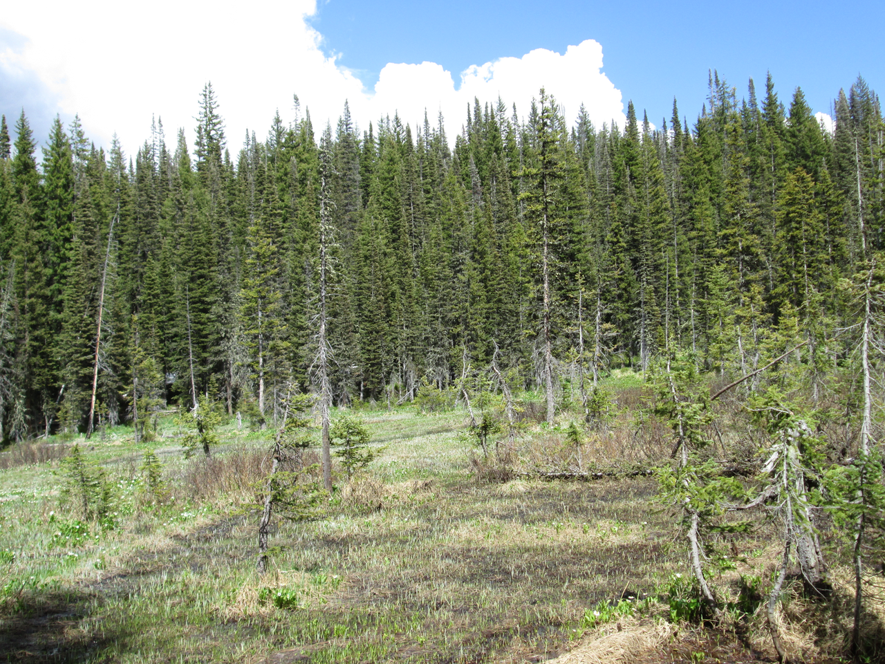"The CODOS snow profile site at Rabbit Ears Pass, located in this northeast sloping wetland, was also completely snow-free on June 16, 2015.  No ""all layers merged"" sample was collected due to the extremely heavy vegetation contamination of the small patches of snow in the adjoining trees."
