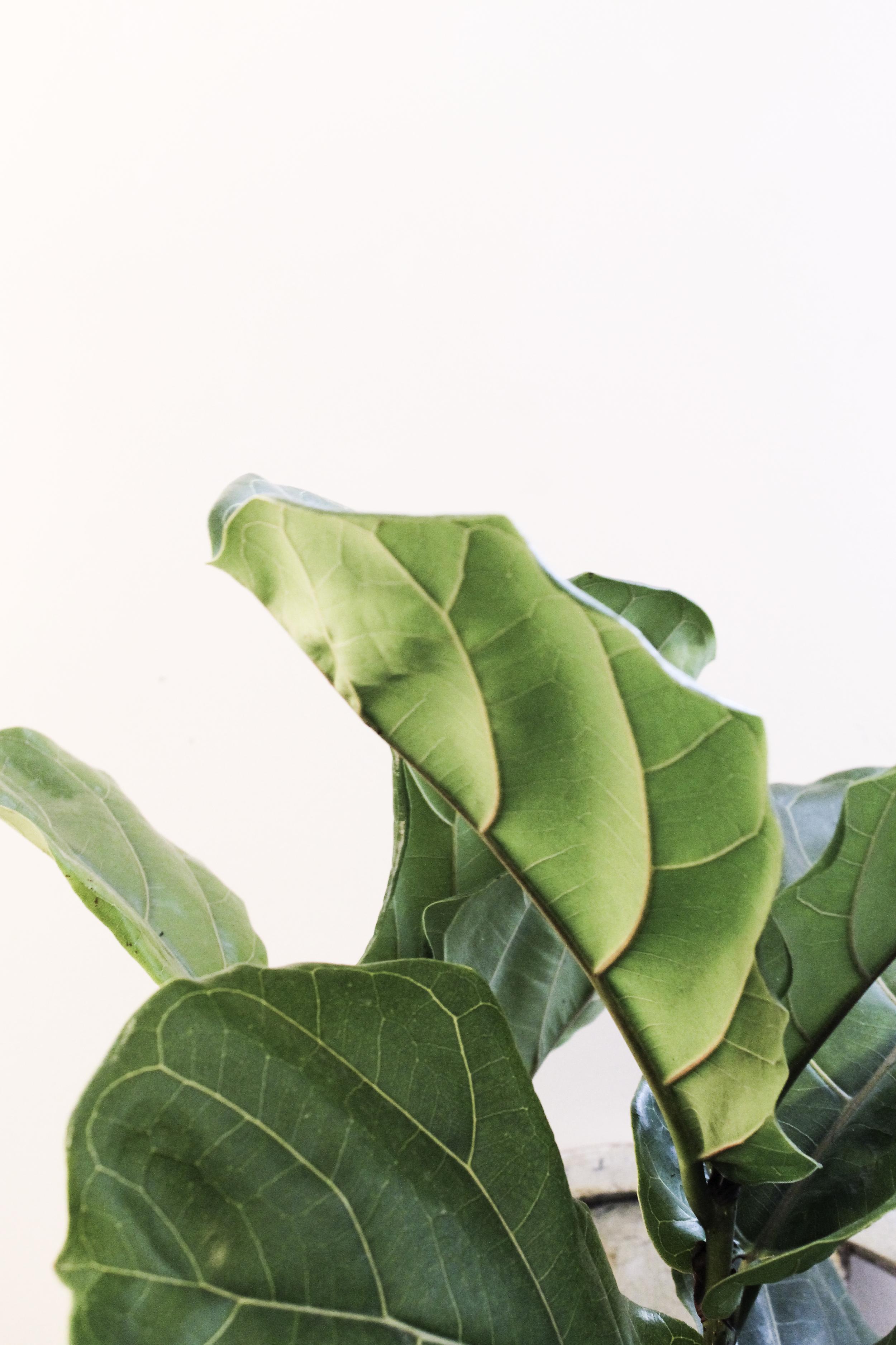 fiddle fig leaves.jpg