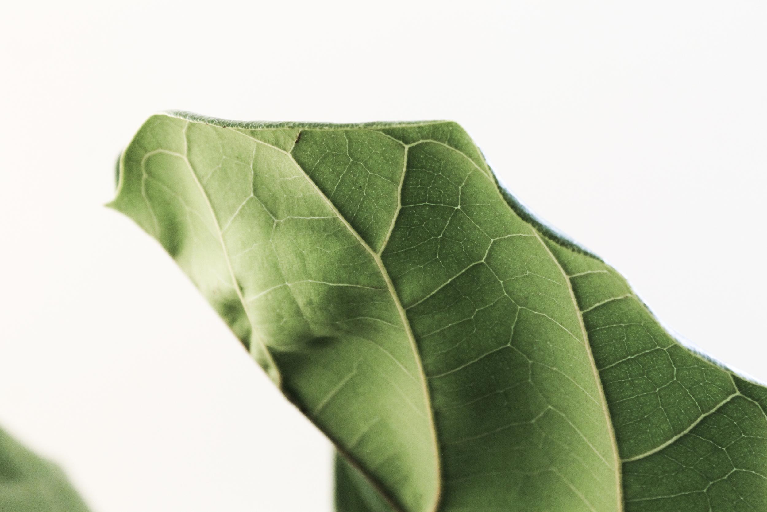 fiddle fig leaf details.jpg