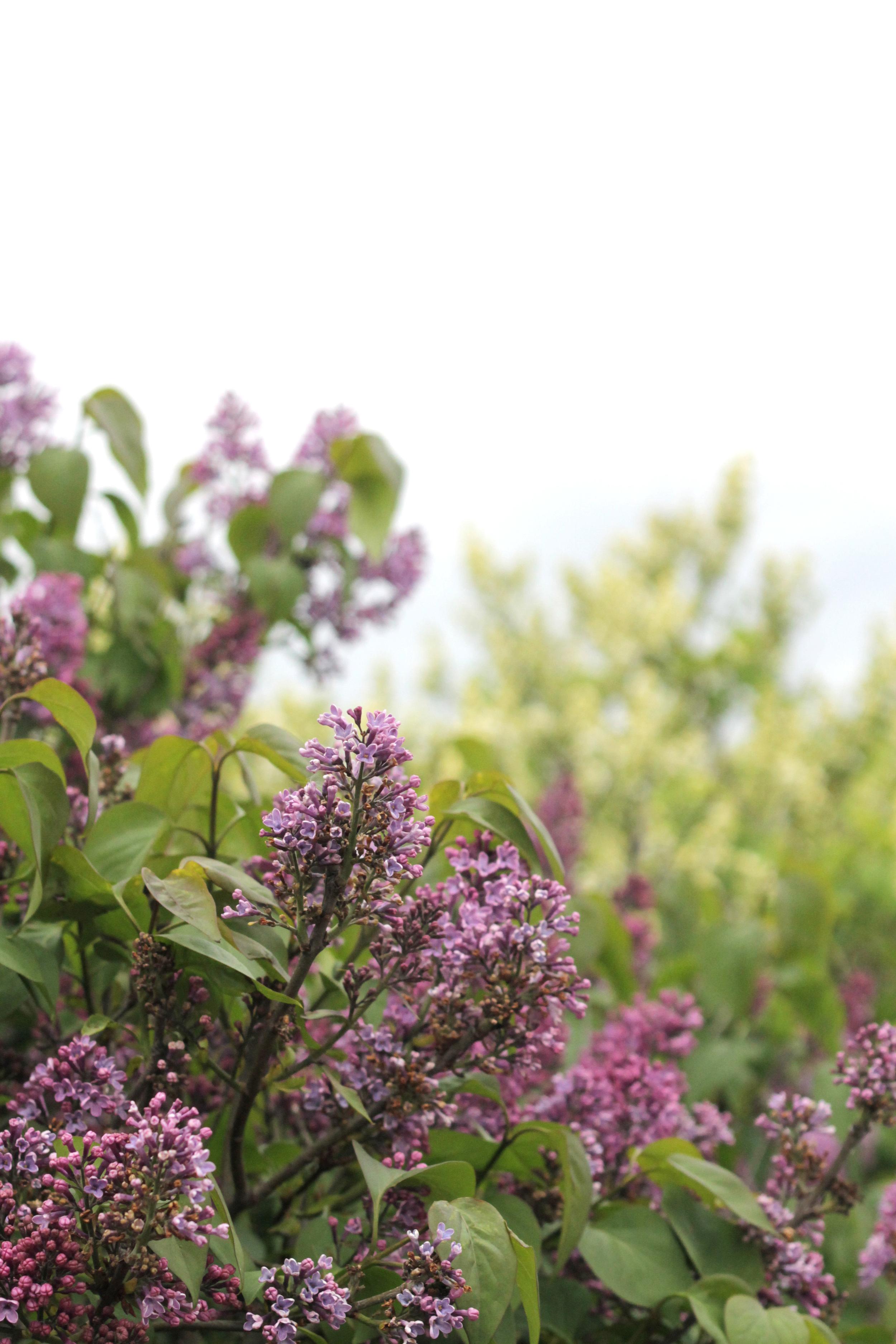 lilacs inb copenhagen | via bekuh b.