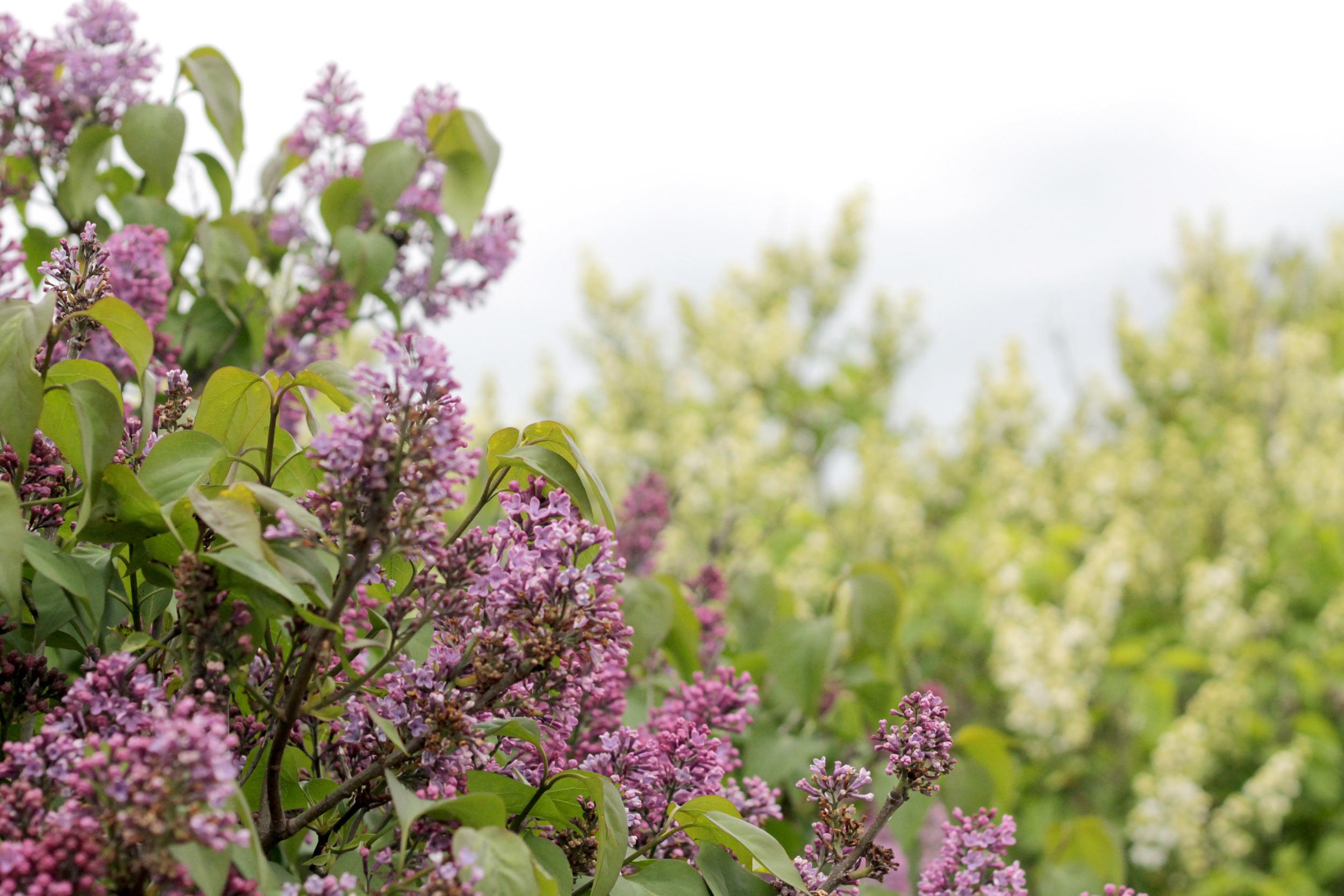 lilacs in copenhagen | via: bekuh b.