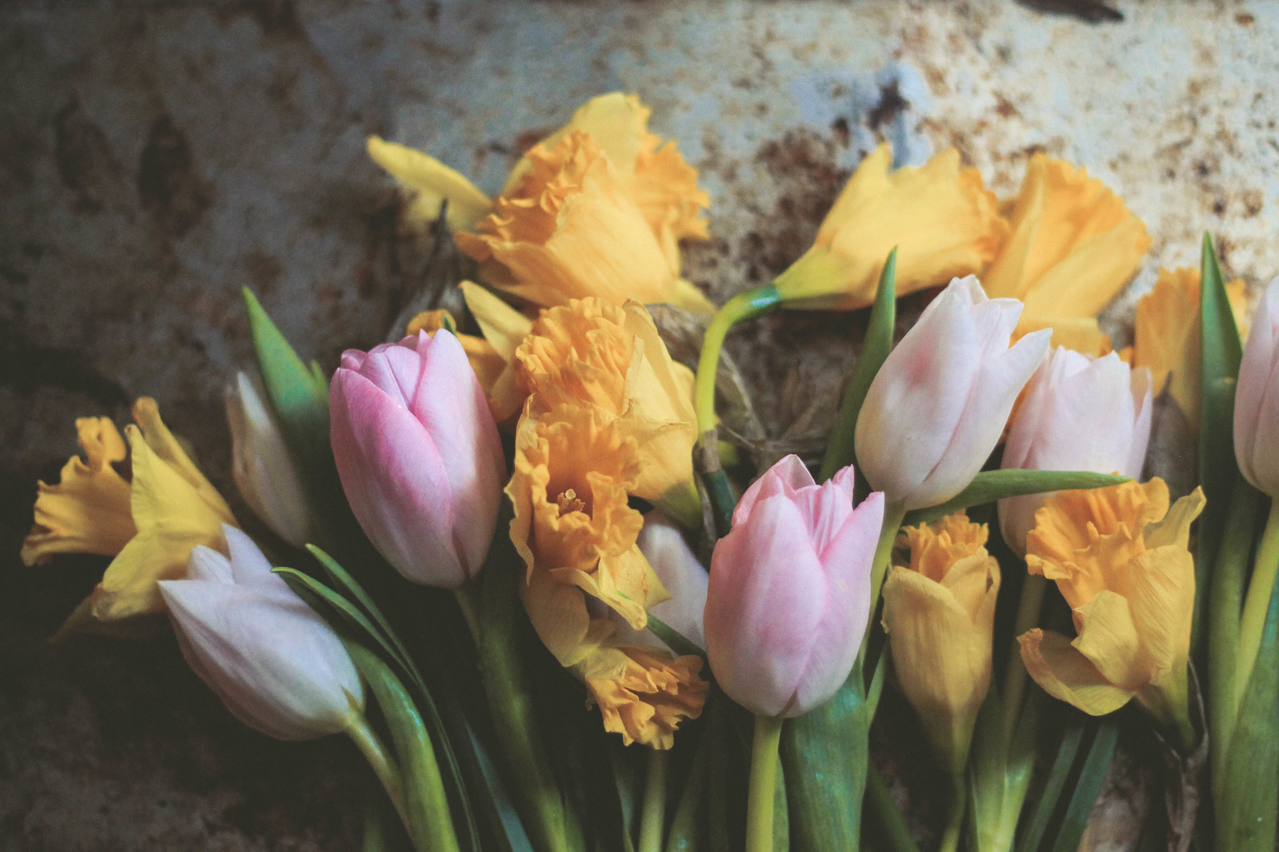 tulips and daffodils in spring | image via: bekuh b.