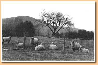 sheepBW.jpg