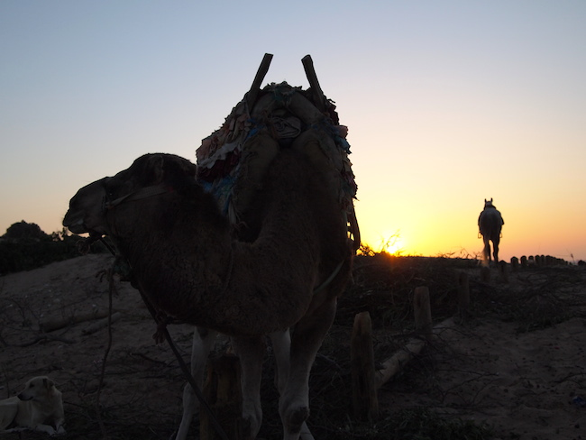 camels in the sunset morocco