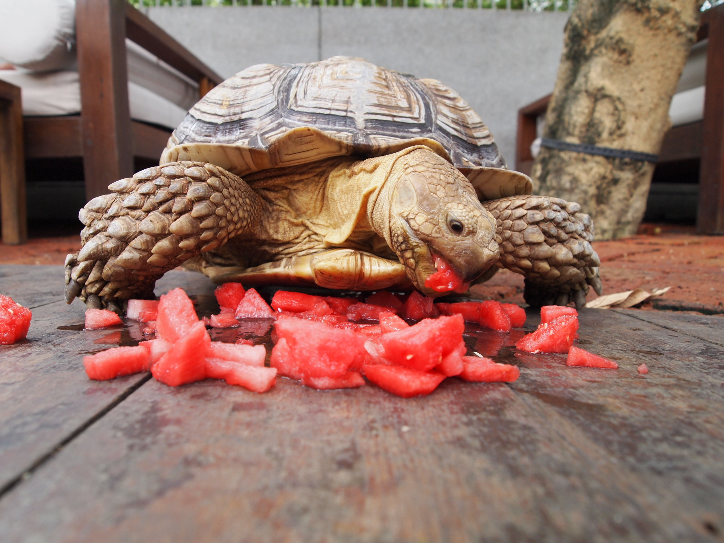 The resident turtle {who LOVES watermelon}