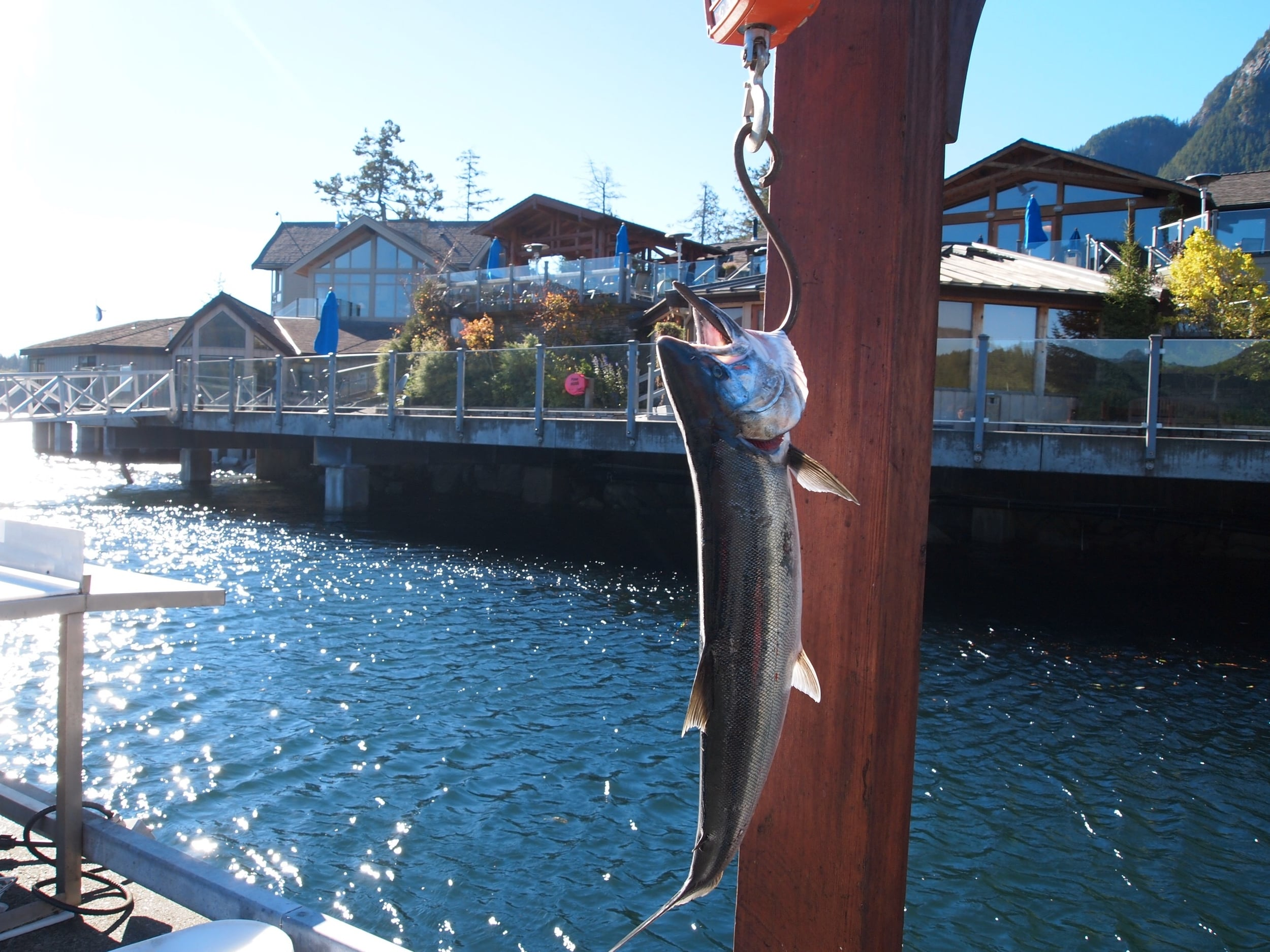 Weighing my salmon on the scale in front of the resort.