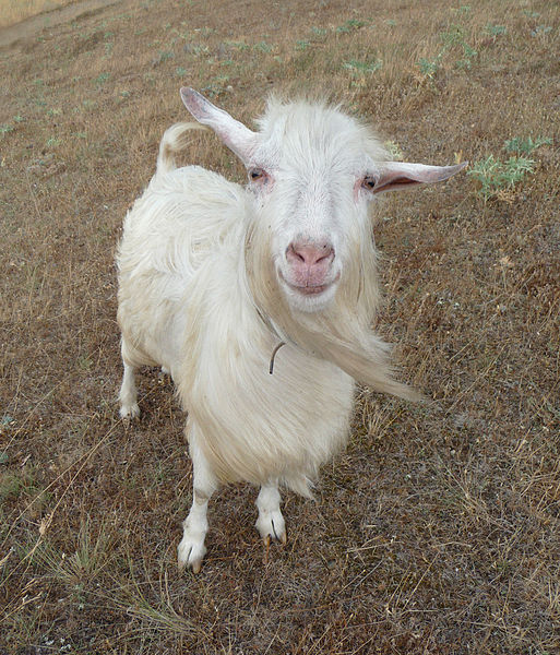 Some diet ads really get my goat. This is what I imagine my goat looks like. Photo by George Chernilevsky, via  Wikimedia Commons