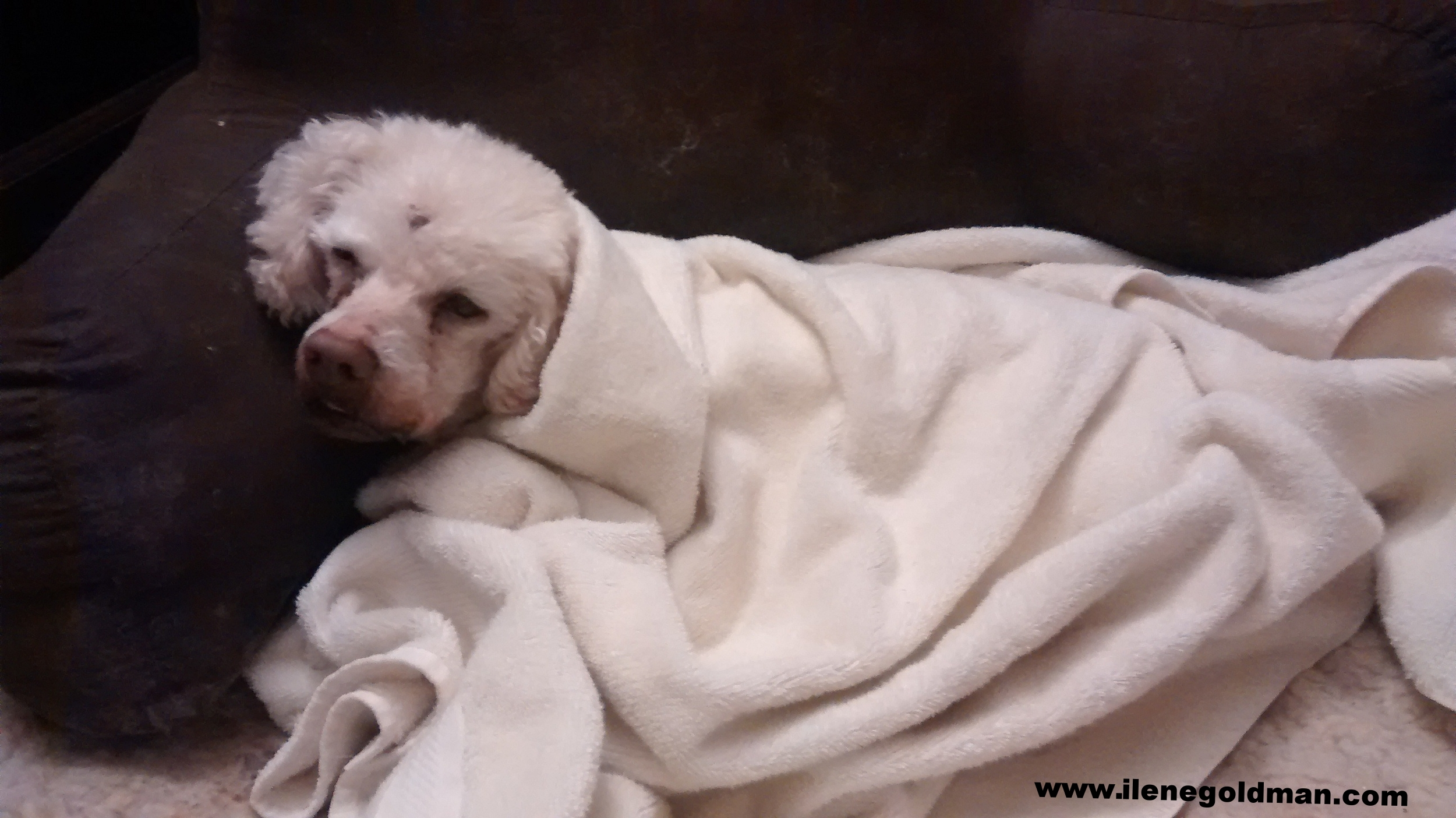 Benji wrapped in a warm, fresh-from-the-dryer towel on a cold autumn night, two nights before he died.