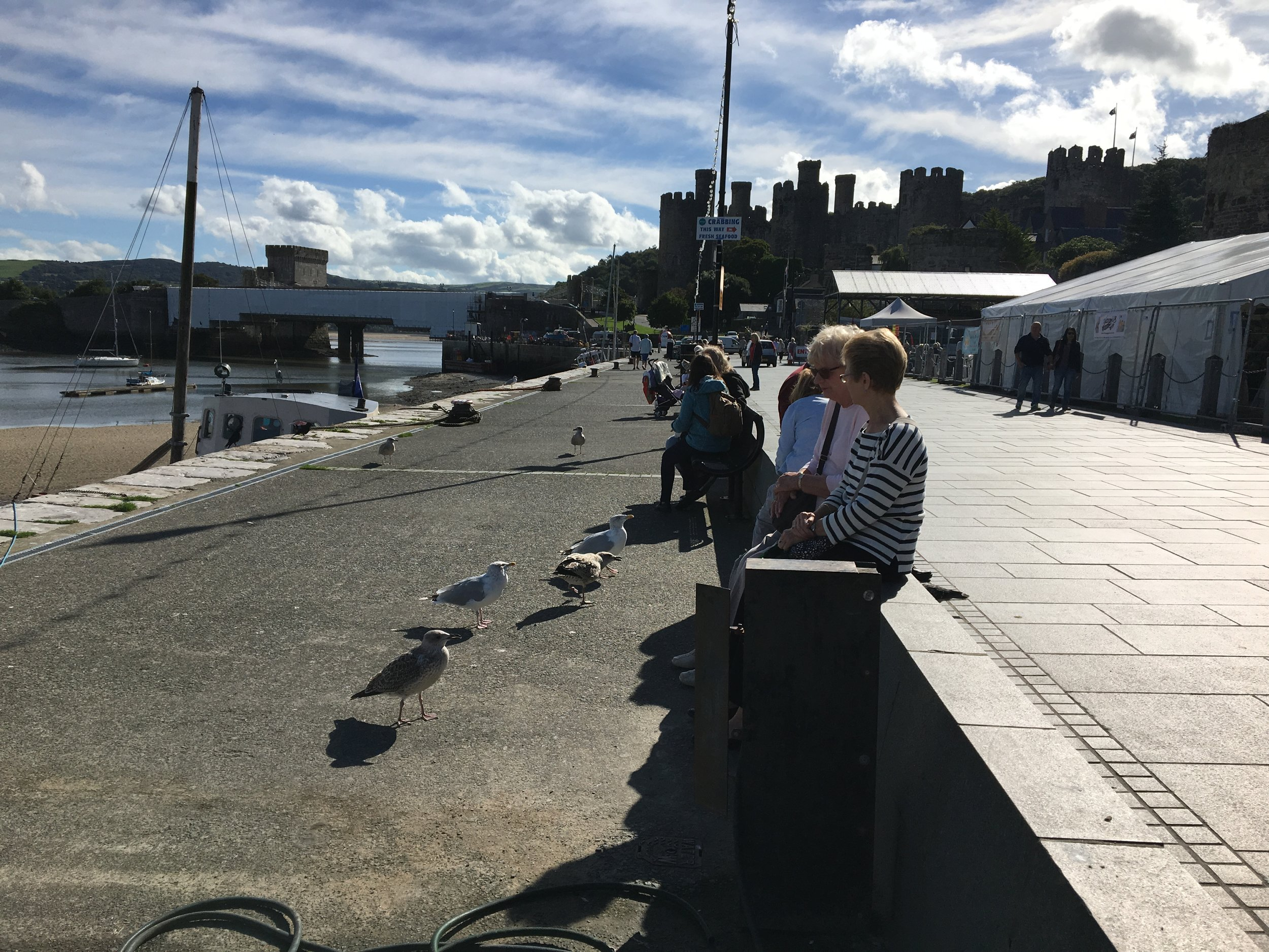 the begging seagulls of Conwy