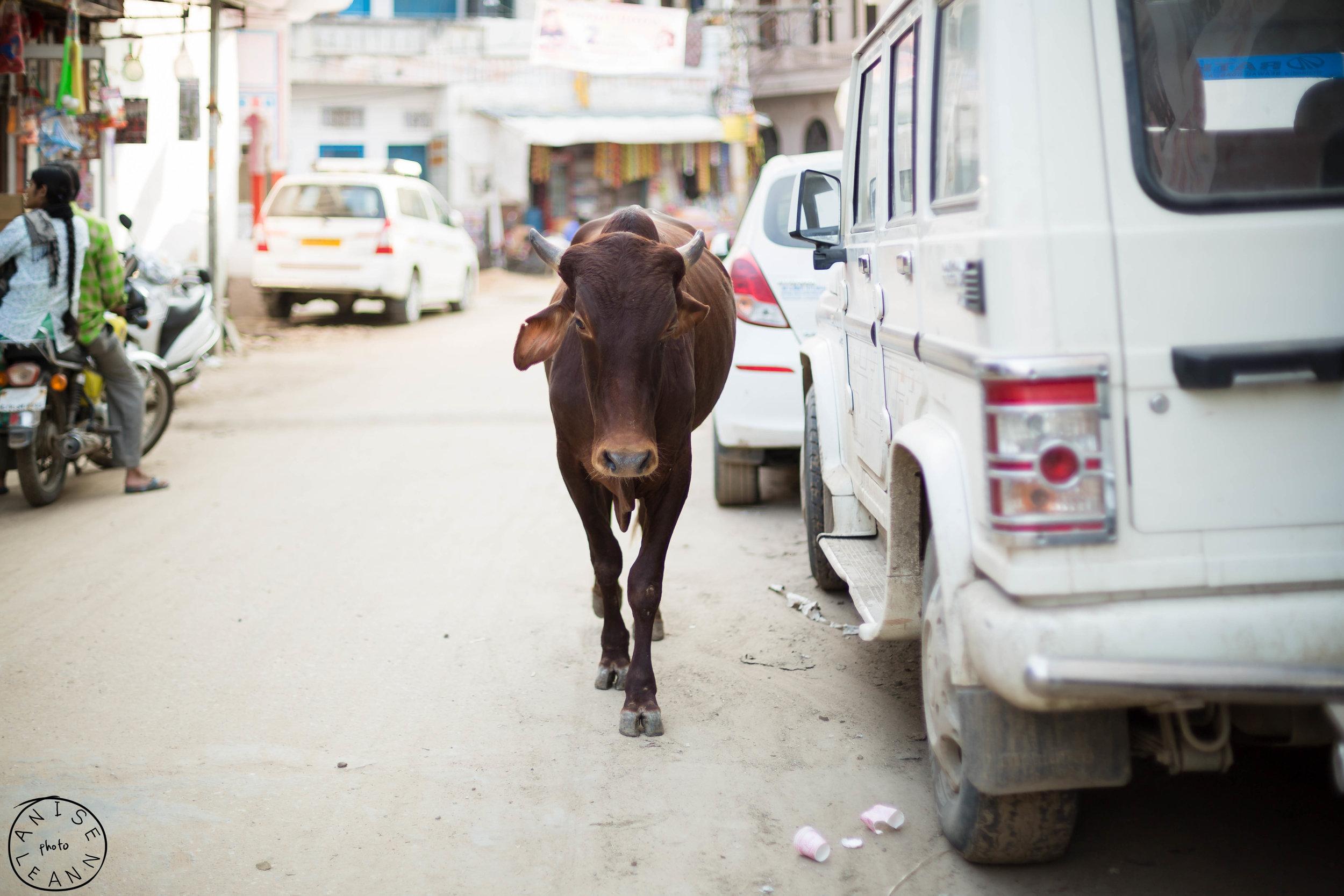 Cows, Cows everywhere :)