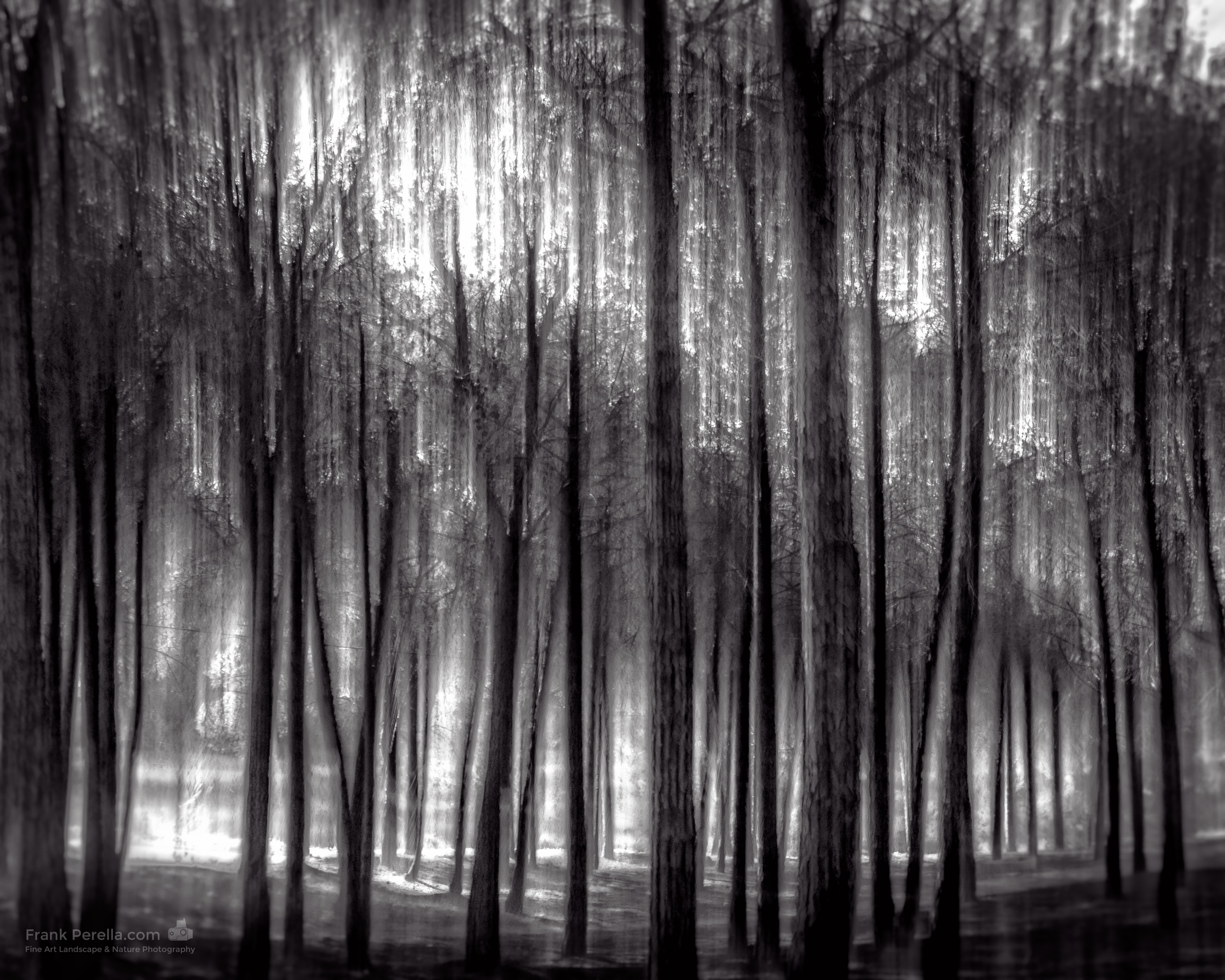 spring pines in monochrome