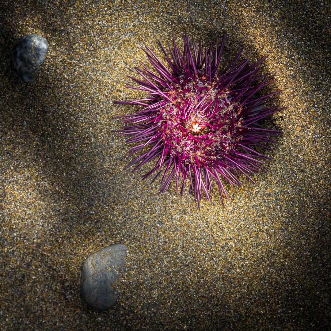 sea urchin and pebbles