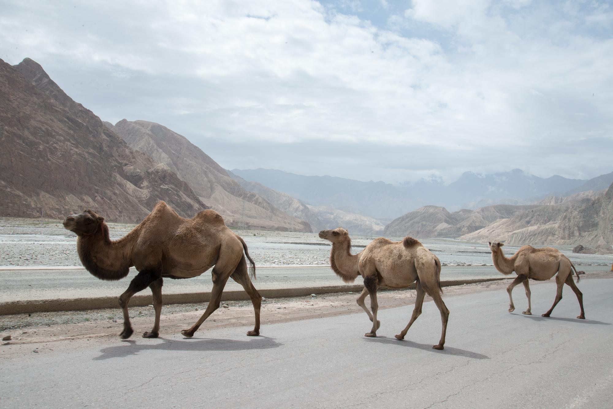 Camels crossing Karakoram Hwy near Kashgar