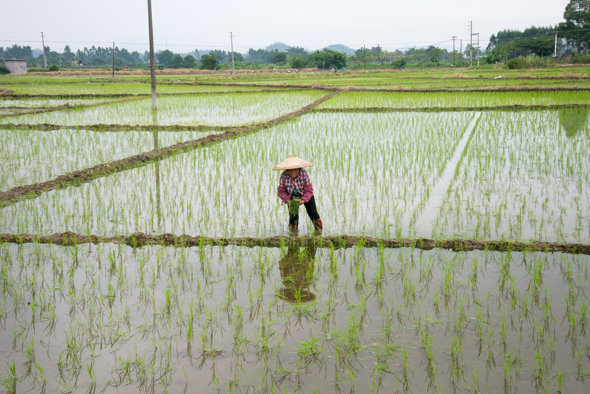 Rice Paddy, Kaiping