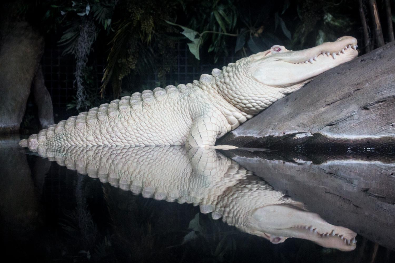 Albino-Alligators.jpg