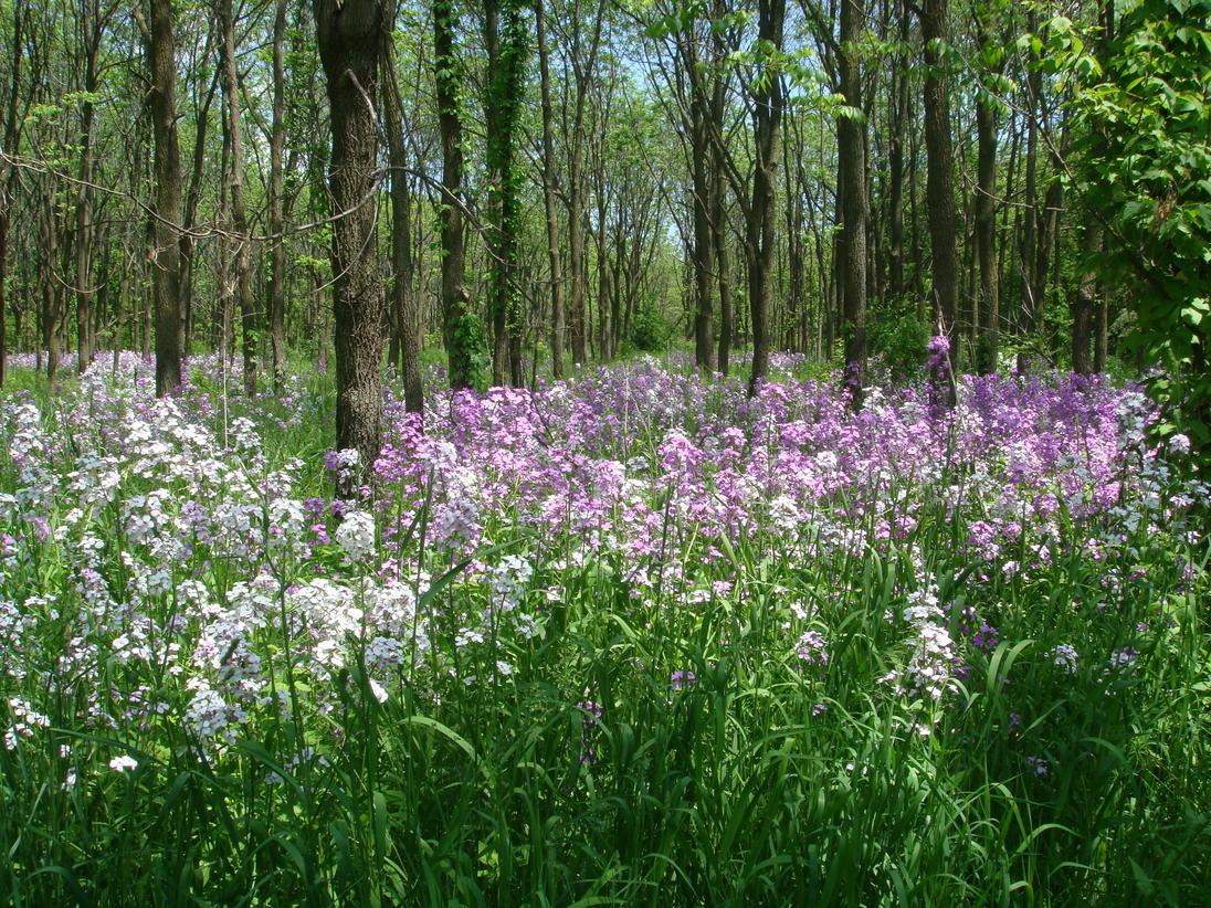 IL wildflowers.jpg