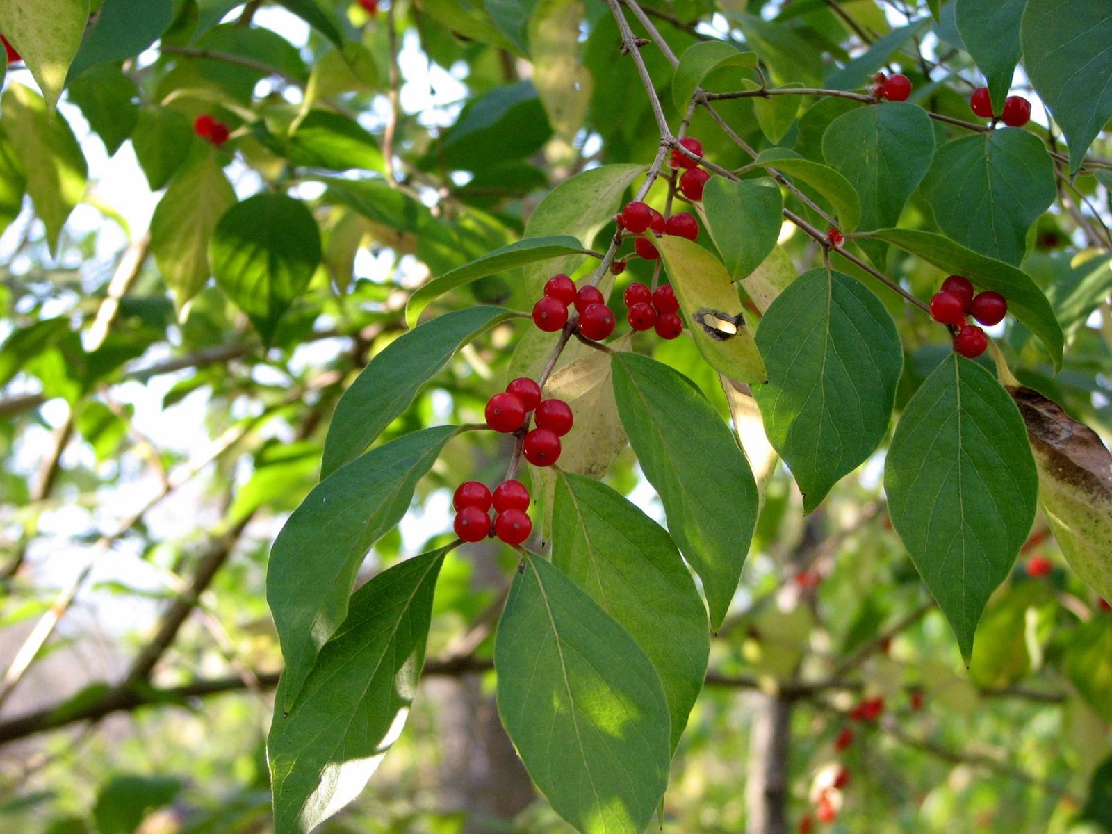 2007110316374603 red Amur honeysuckle (Lonicera maackii) berries - Oakland Co.JPG