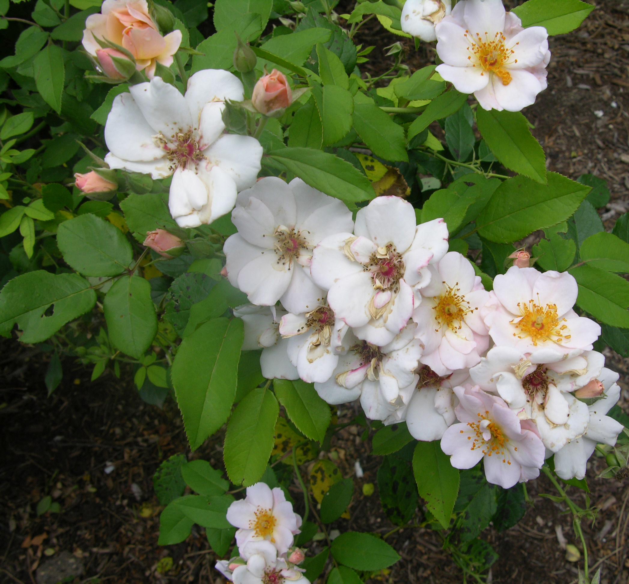 Rosa-Multiflora.jpg