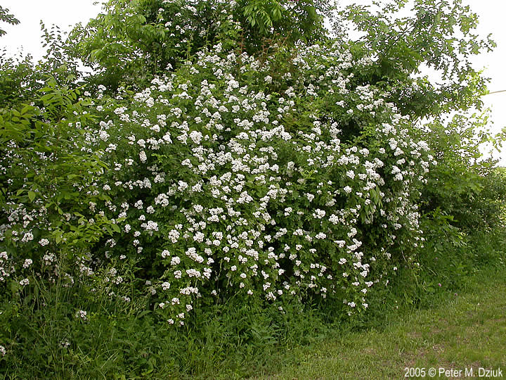 rosa-multiflora-3.jpg