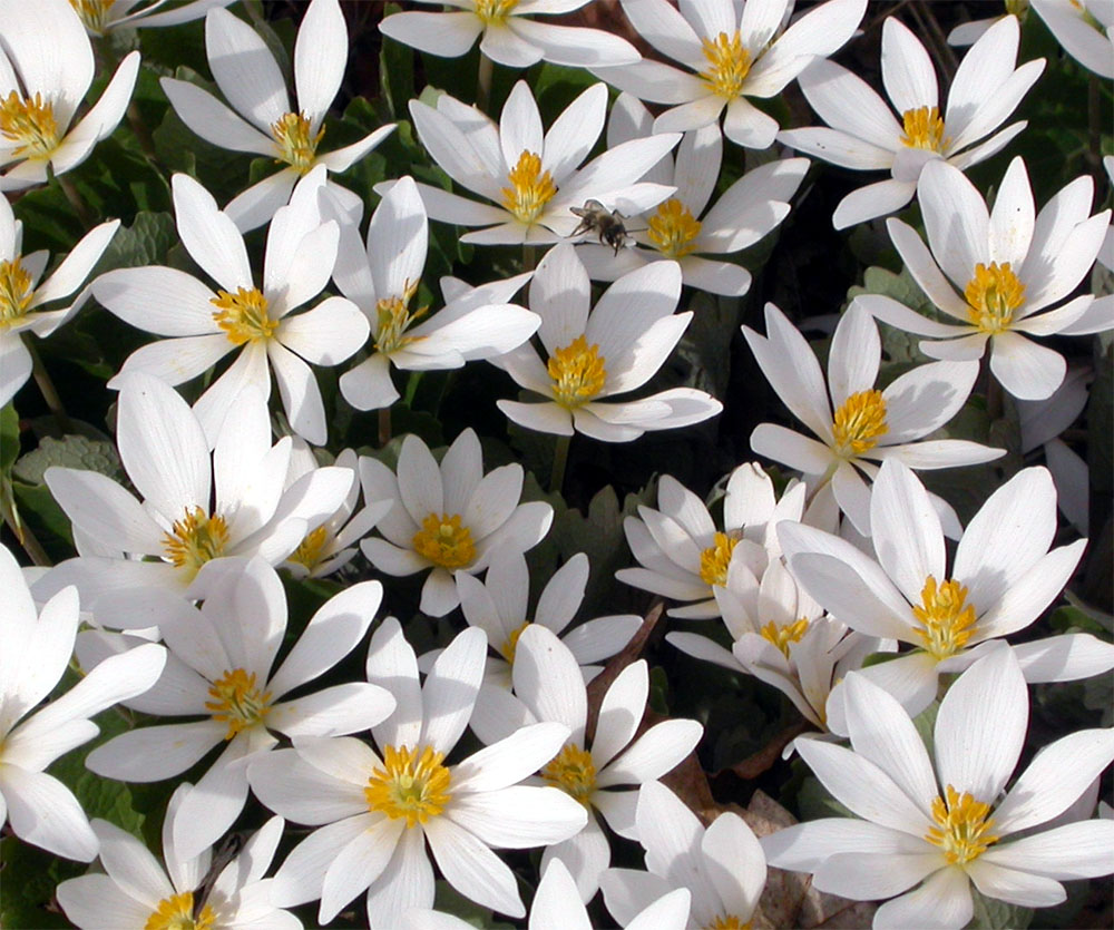 Bloodroot_(Sanguinaria_canadensis)_group.jpg