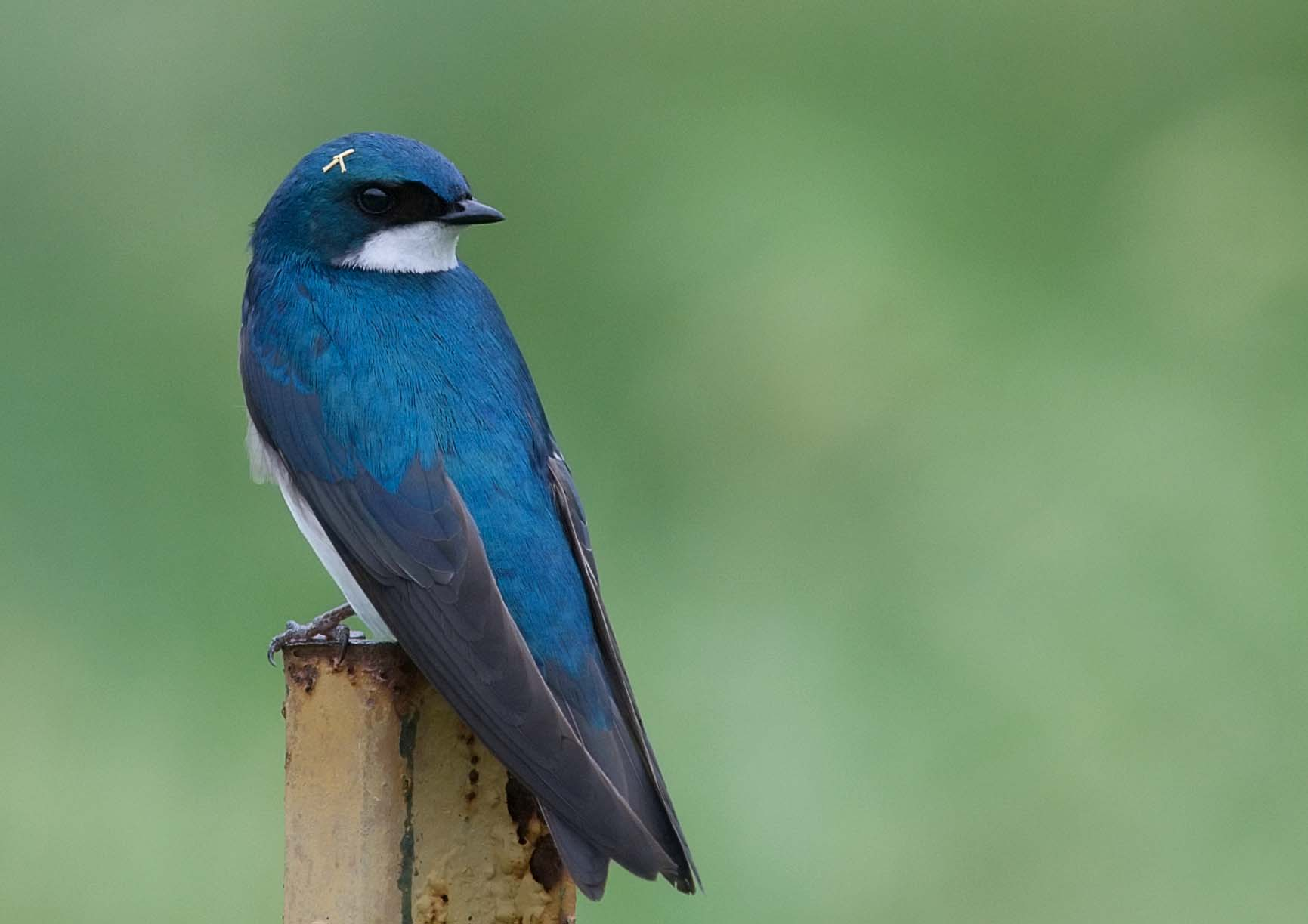 - Tree Swallow (Tachycineta bicolor)Tree Swallows live mostly in open areas near bodies of water. They eat insects, invertebrates, and berries. They make a high-pitched call that is made up of a chirp, a whine, and a gurgle. Their wingspan is 11.8-13.8 in. and they can weigh 0.6-0.9 oz. They are protected on the US Migratory Bird lists.Photo Credits: Kelly Colgan Azar