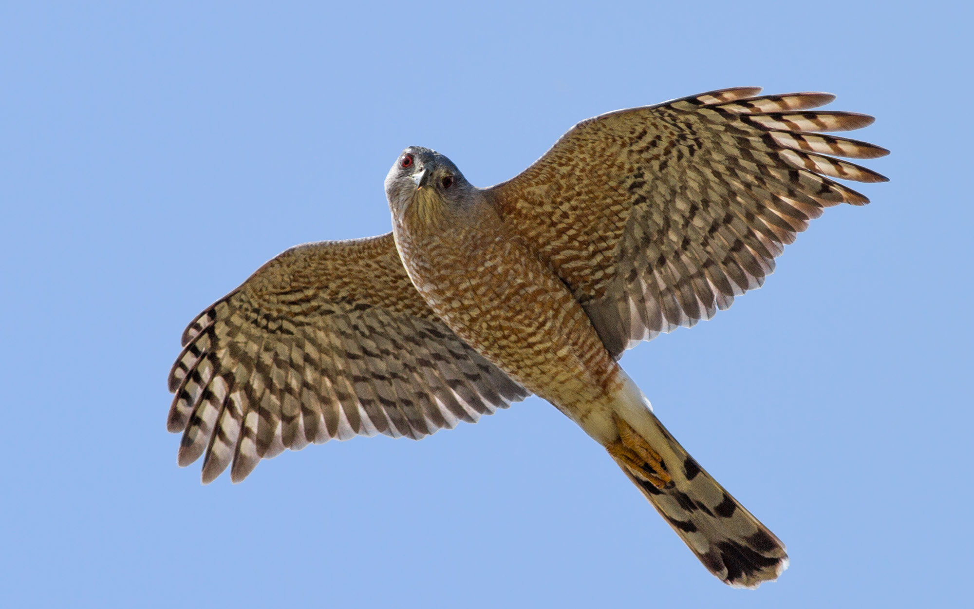 """- Cooper's Hawk (Accipiter cooperii)Native to North America and live in deciduous mixed forests. Cooper's Hawks look like larger versions of Sharp-shinned Hawks. They typically weigh 7.8-14.5 oz. and have a wingspan of 24.4-35.4 in. Cooper's Hawks communicate with a """"kak-kak-kak"""" noise. They eat small birds, eastern chipmunks, and other small mammals. They are protected on the US Migratory Bird lists.Photo Credits: Fyn Kynd"""