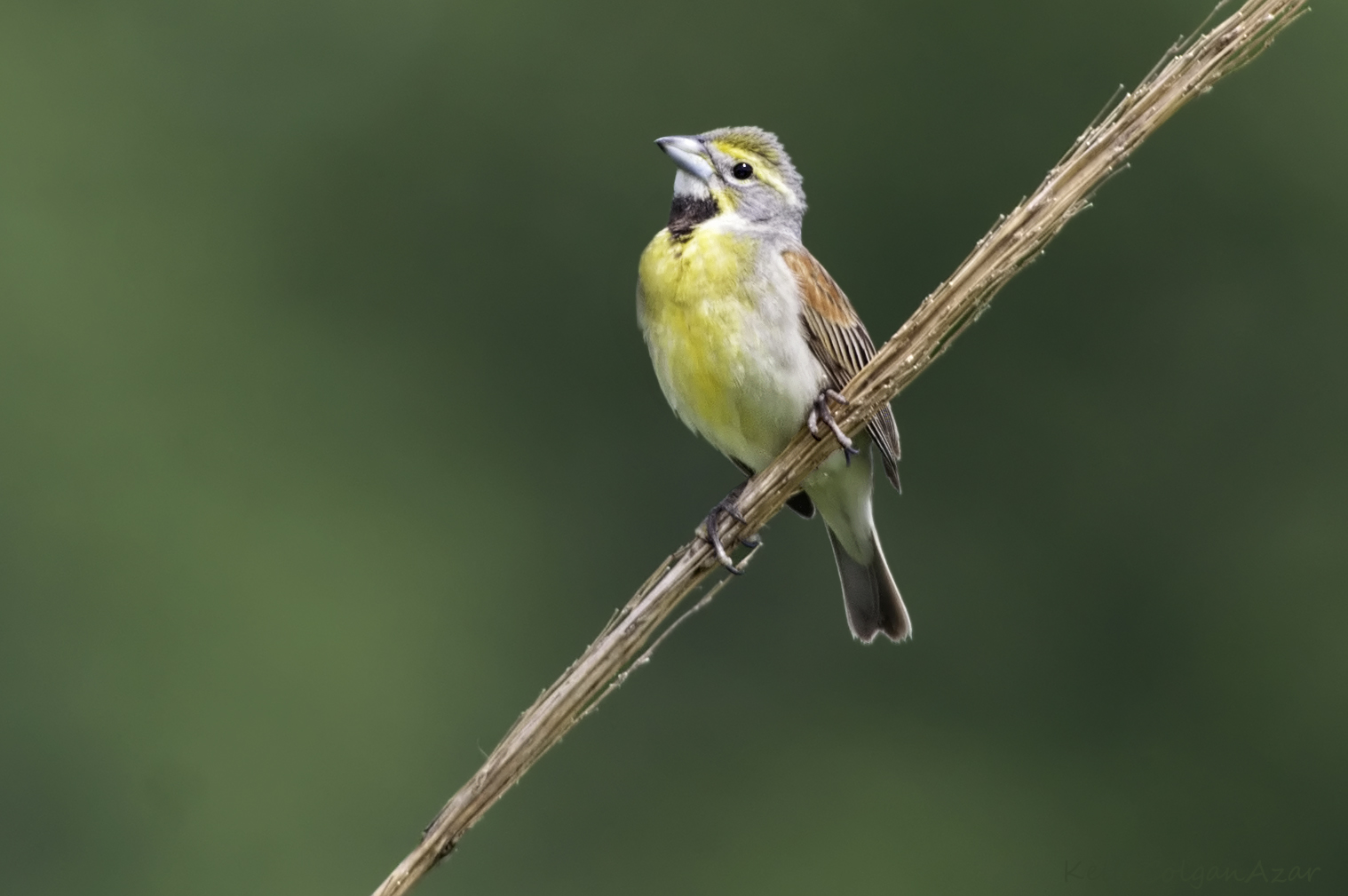 """- Dickcissel (Spiza americana)Dickcissels live in open areas such as prairies, meadows, and agricultural fields.They eat seeds from the grasses and crops around them and insects such as grasshoppers and beetles. Dickcissels have a wingspan of about 9.8 in. and weigh 0.8-1 oz. Their song say """"dick, dick, ciss, ciss, ciss."""" They are protected on the US Migratory Bird list.Photo Credits: Kelly Colgan Azar"""