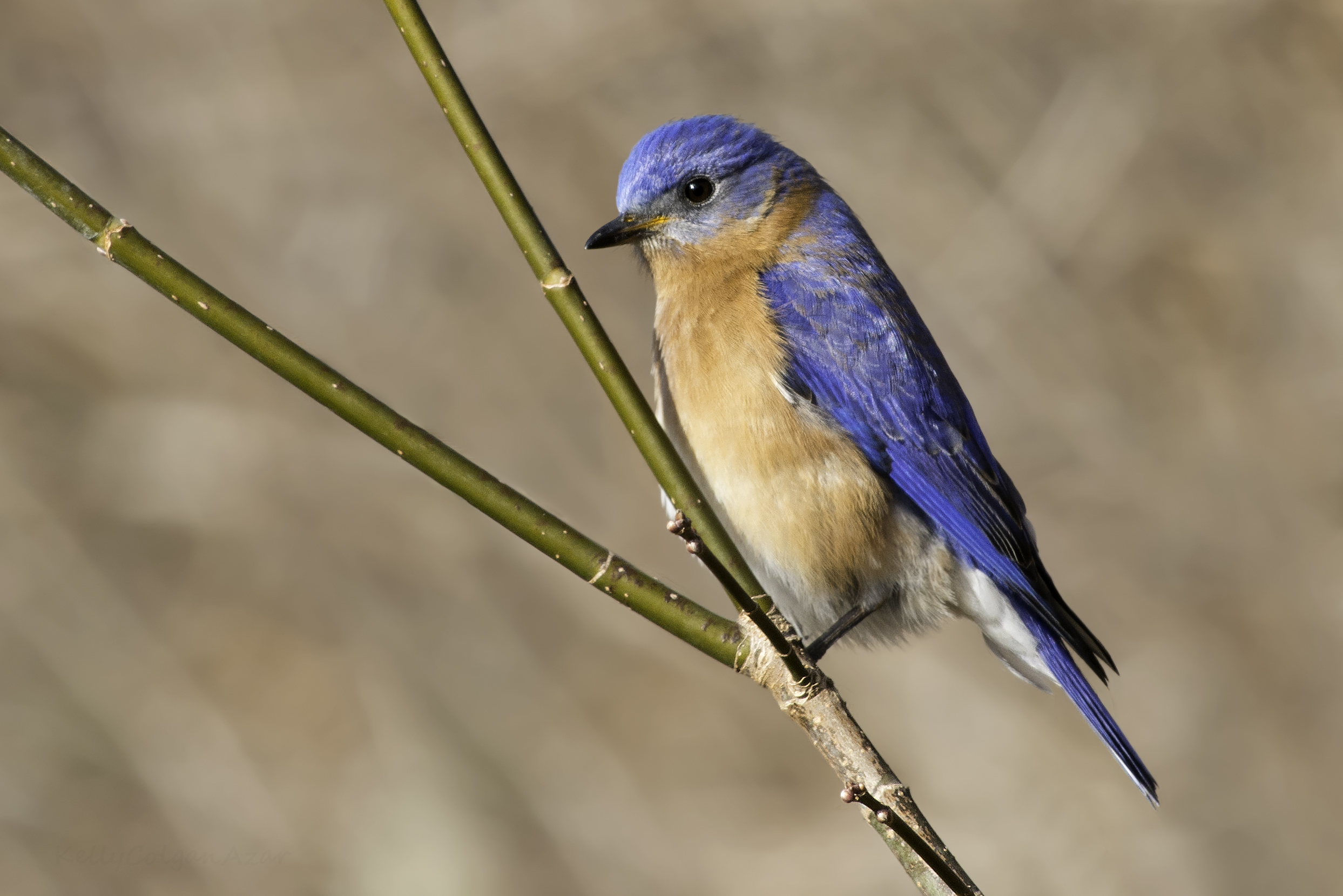 """- Eastern Bluebird (Sialia sialis)Eastern Bluebirds live in open areas, forest edges, and in nesting boxes. Their diet consists of insects such as grasshoppers and beetles, arachnids, other invertebrates, and berries. They weigh about 1 oz. and have a wingspan of 9.8-12.6 in. Eastern Bluebirds have a low call that says """"tu-a-wee."""" They are protected on the US Migratory Bird list.Photo Credits: Kelly Colgan Azar"""