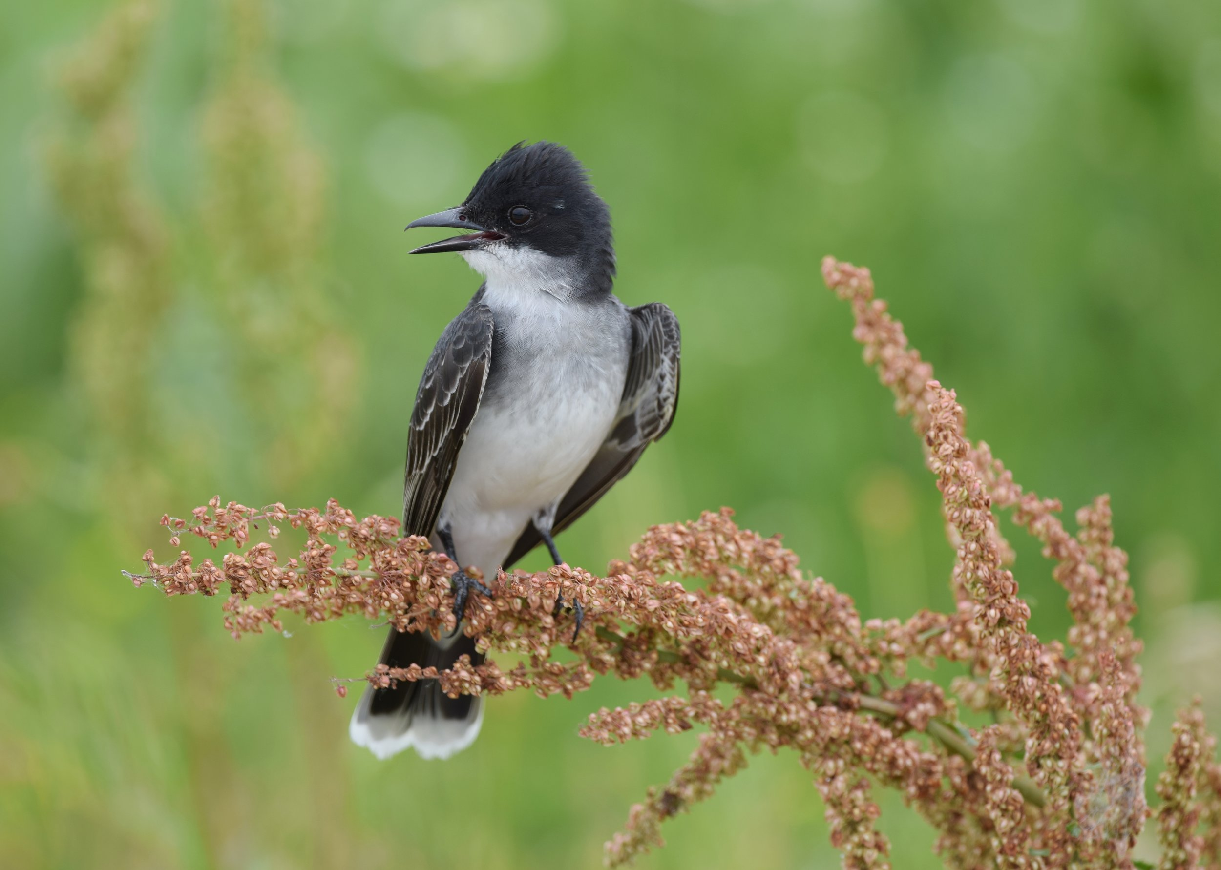 - Eastern Kingbird (Tyrannus tyrannus)Eastern Kingbirds live mostly in open, grassy areas and on the edges of forests. Their diet consists of insects and fruit. Eastern Kingbirds grow to be 1.2-1.9 oz. with a wingspan of 13-15 in. Their song is a high sputtering that ends with buzzing. Their name comes from their hidden crest, which can be one of multiple bright colors and only is shown when threatened. Eastern Kingbirds may be mistaken for Eastern Wood Pewees, but can be distinguished by their white-tipped tail. They are protected on the US Migratory Bird lists.Photo Credits: Andy Reago & Chrissy McClarren