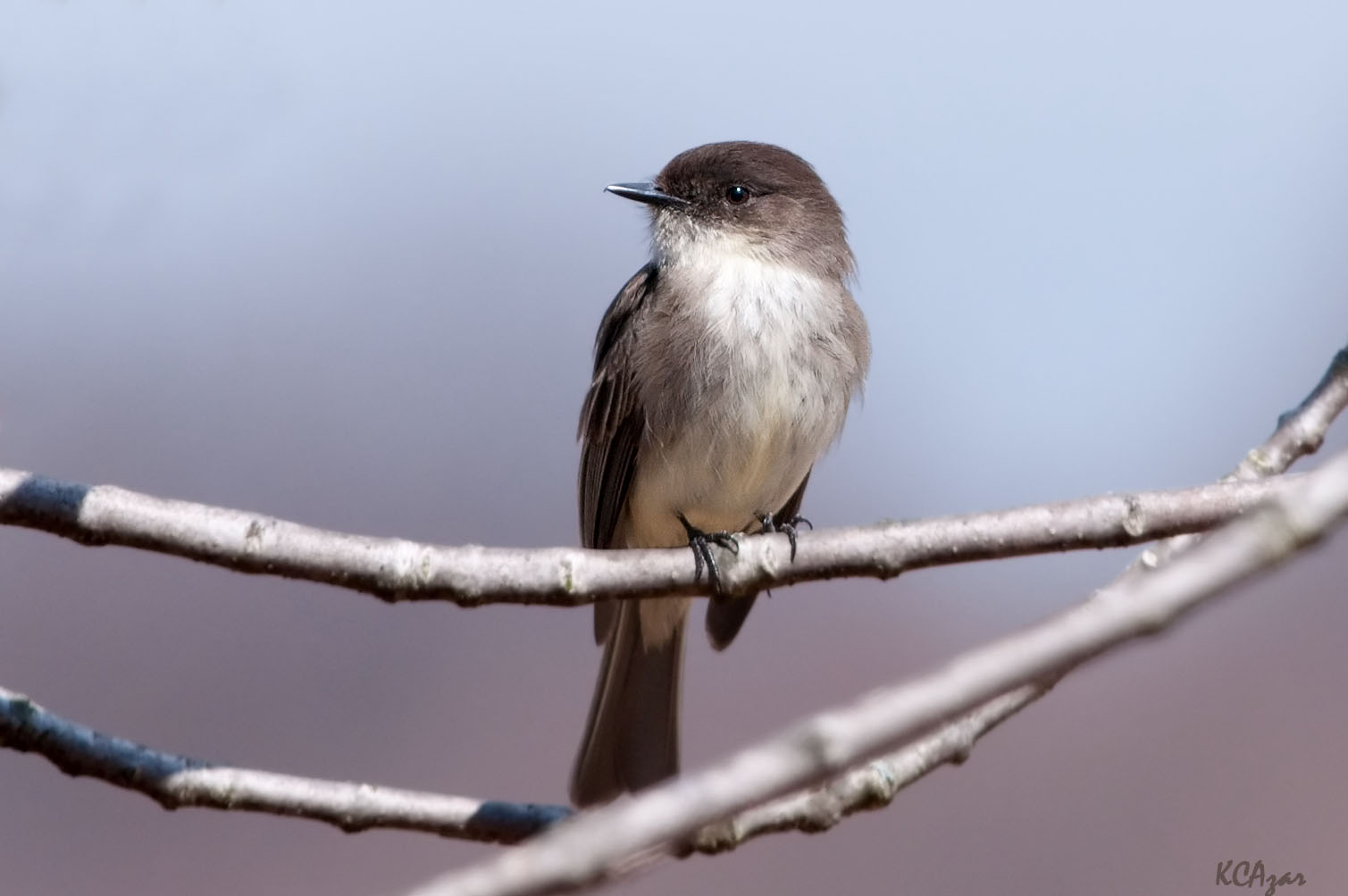 """- Eastern Phoebe (Sayornis phoebe)Eastern Phoebes live in woods near water and nest on many man-made structures. Their diet is mainly insects and sometimes fruit. This was the first species of bird to be banded in North America. They usually weigh 0.5-0.6 oz. and have a wingspan of 10.2-11 in. Eastern Phoebes say their name """"fee-bee."""" They are protected on the US Migratory Bird lists.Photo Credits: Kelly Colgan Azar"""