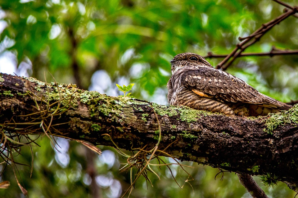 """- Eastern Whip-poor-will (Caprimulgus vociferus)Eastern Whip-poor-wills live in dry deciduous woodlands, mixed woodlands, and secondary growth forests. Whip-poor-wills are nocturnal and form small flocks for migration. They weigh about 1.52 to 2.24 oz. and grow up to 8.66 to 10.24 in. Whip-poor-will communicate by their most known three tone call """"Whip-poor-will"""". They also use growls, hisses, and """"quirt"""" for excitement or stress. Whip-poor-wills eat moths, mosquitoes, crickets, and other insects. They are protected on the US Migratory Bird lists.Photo Credits: pixabay user dalmoarraes"""